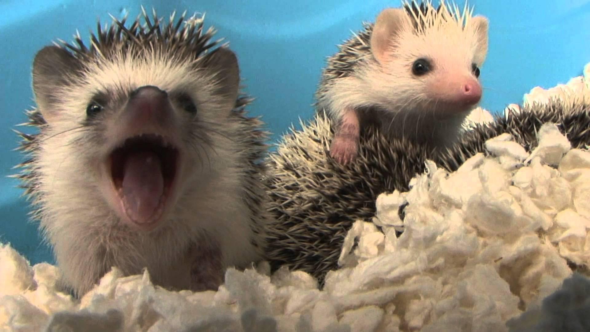 Baby Hedgehog Yawns (HD) (Original)