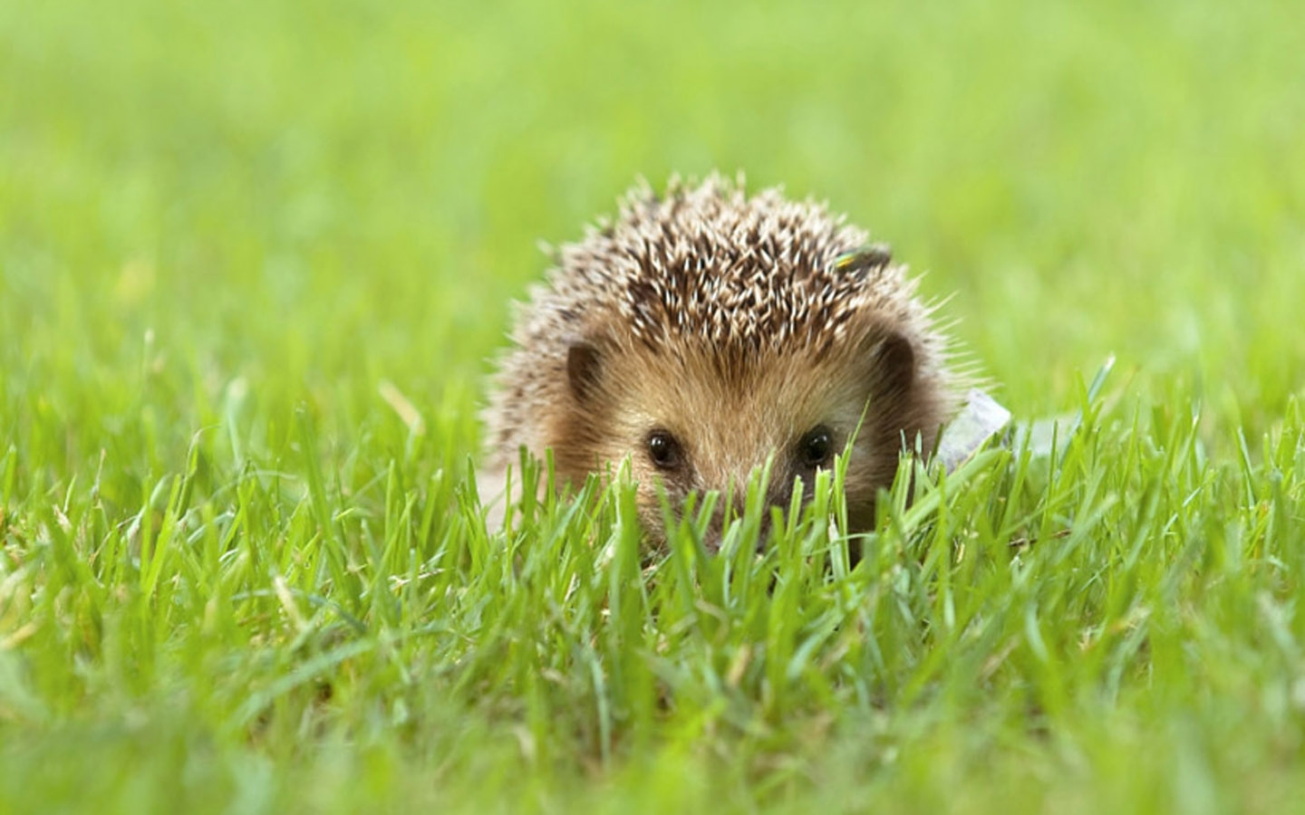 Hedgehog background