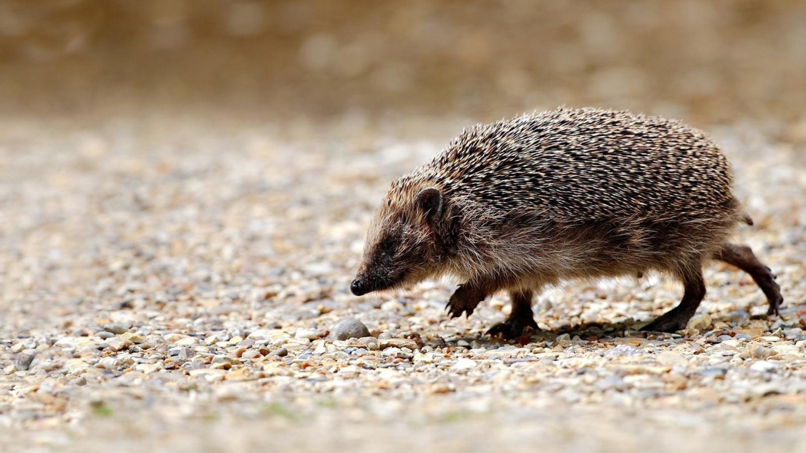 Hedgehog walking