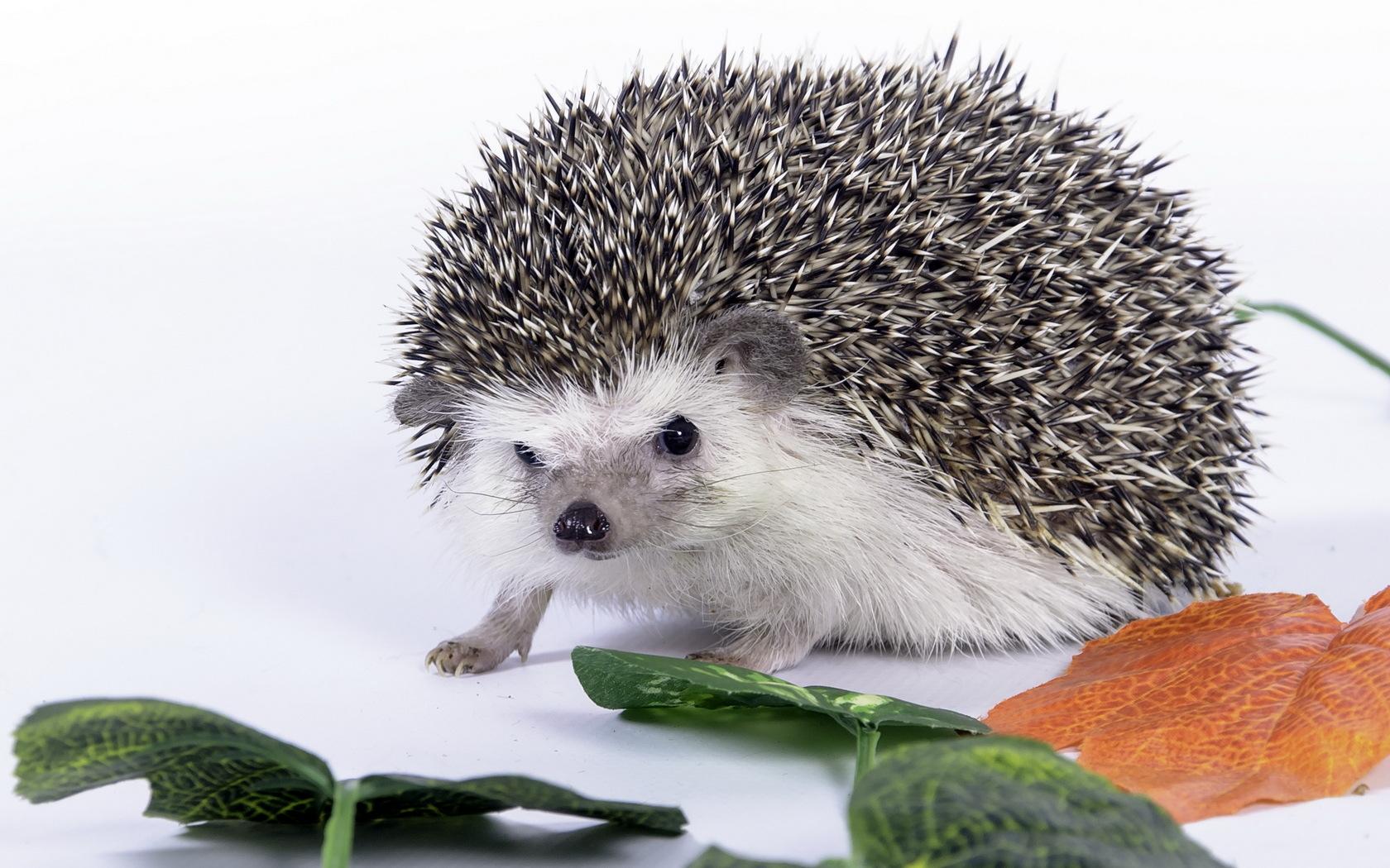 HD Wallpaper | Background ID:329870. 1680x1050 Animal Hedgehog