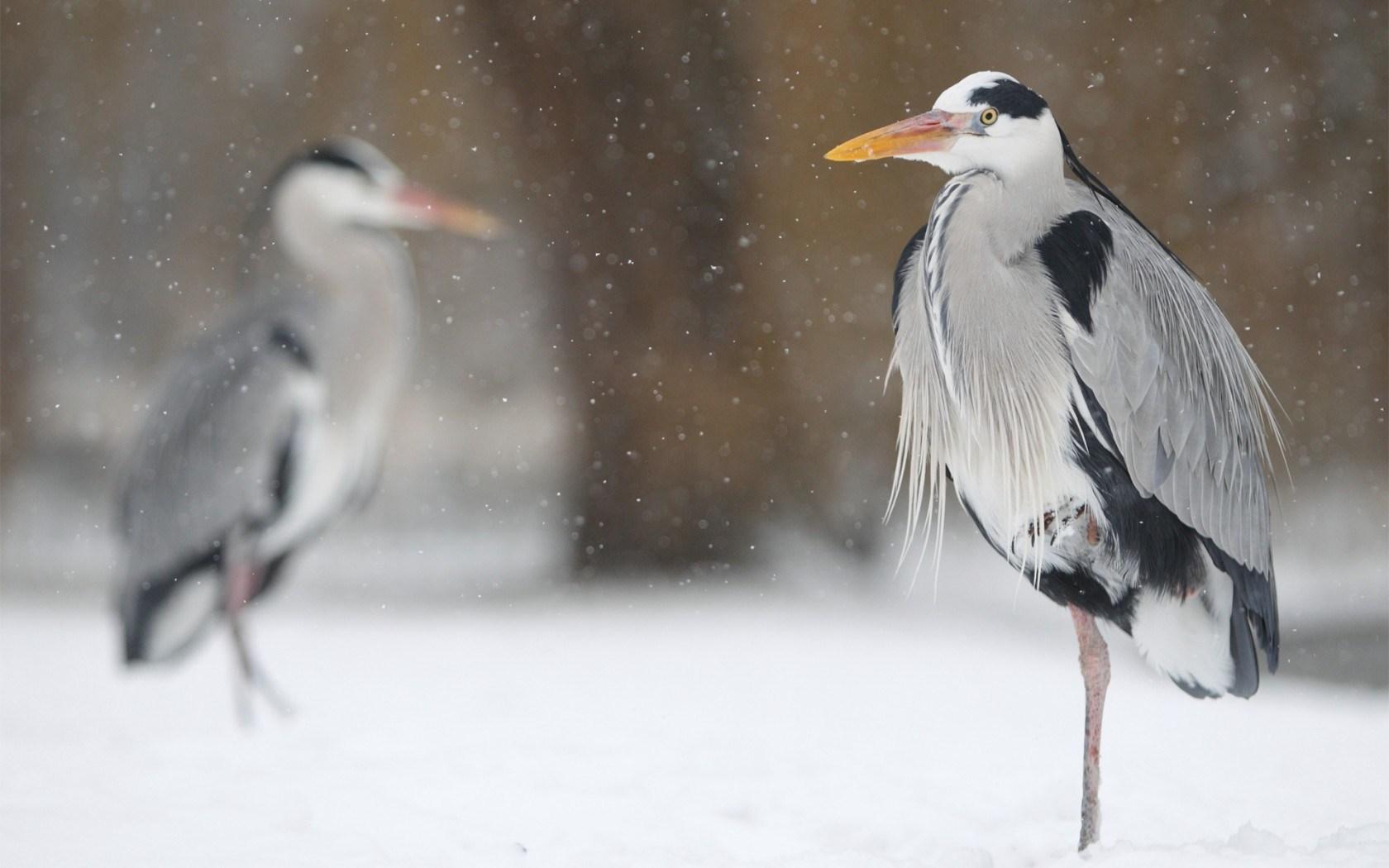 Heron Birds Winter