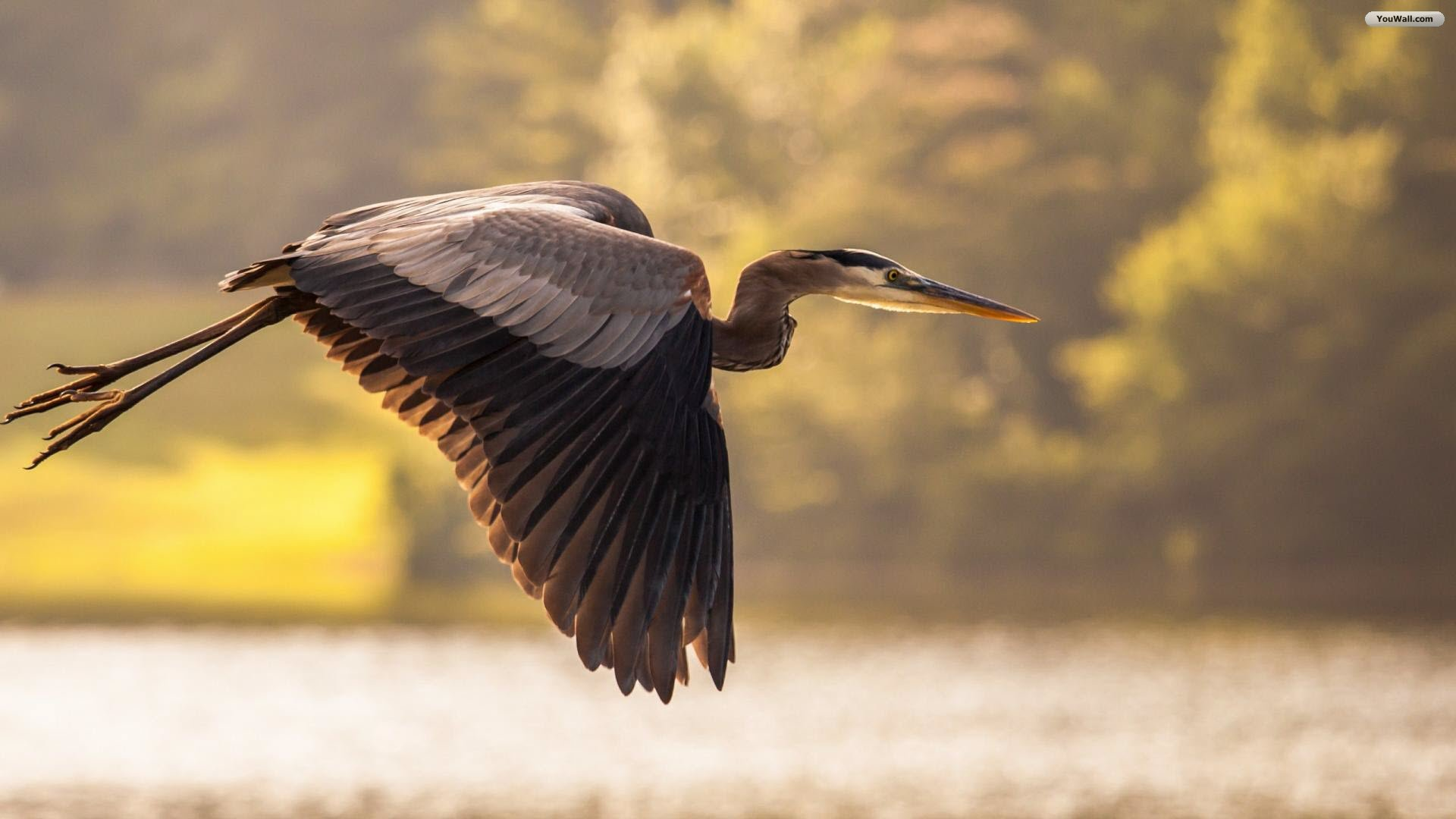 Flying Heron Wallpaper