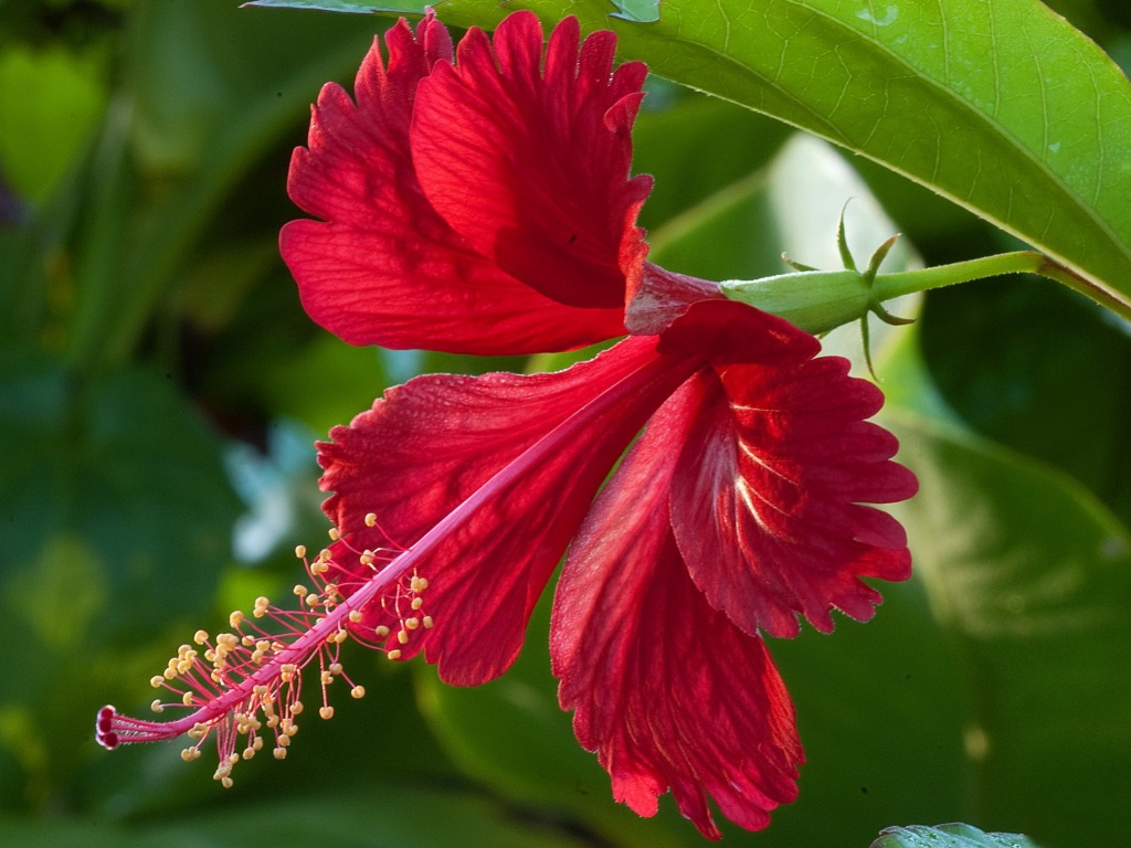 benefits of hibiscus flower drink