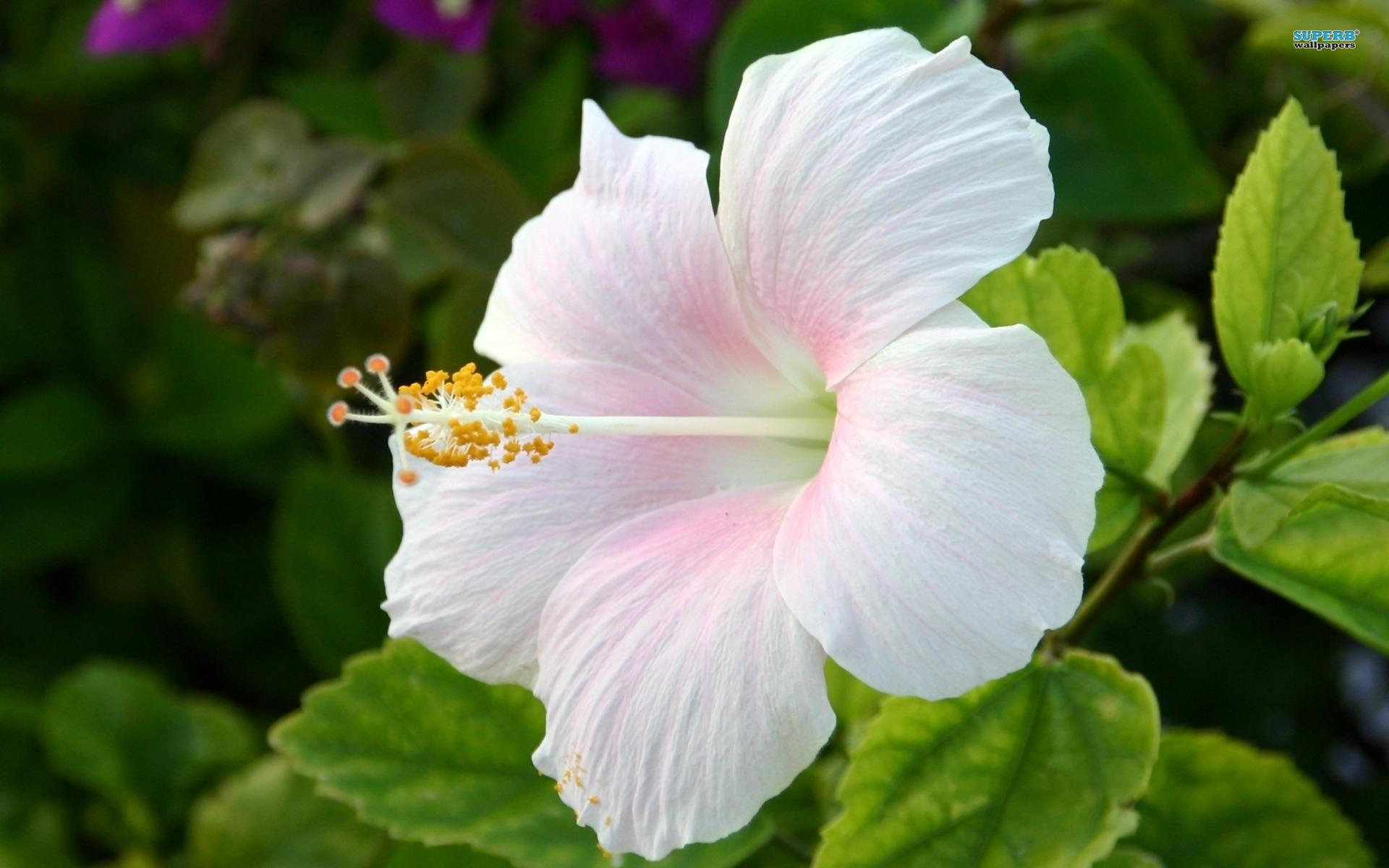 characteristics of hibiscus flower