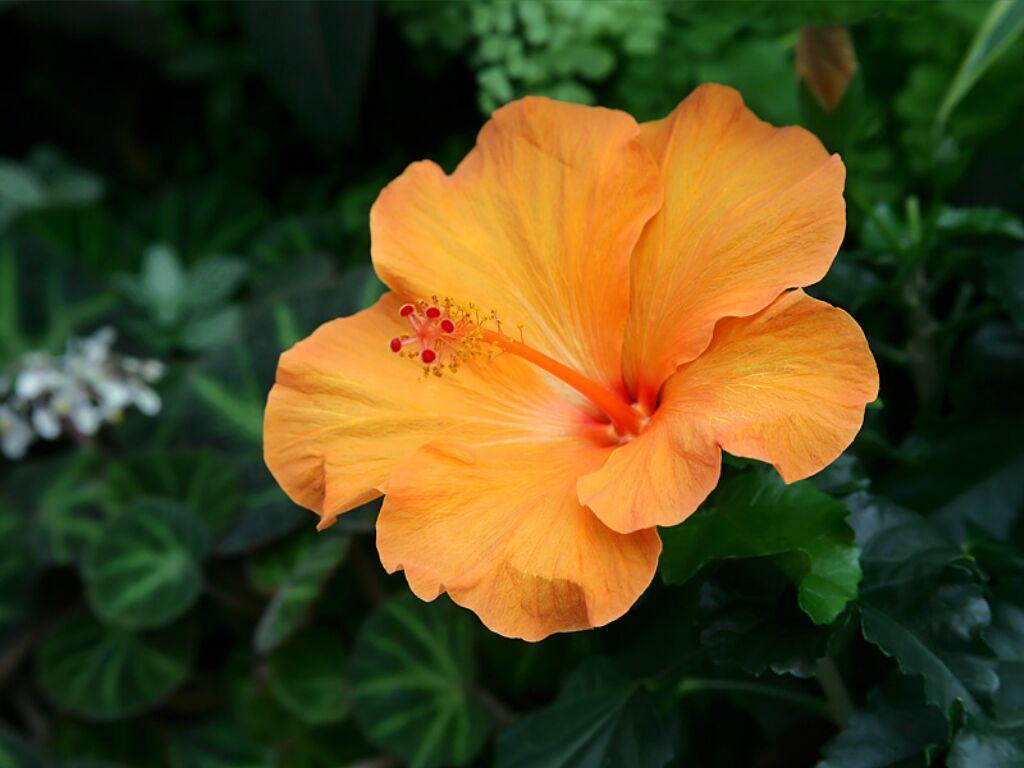... Hibiscus Flowers; Hibiscus Flowers