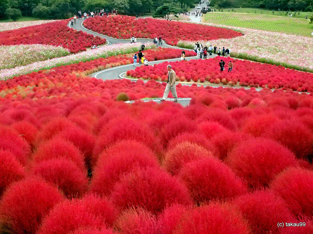 ... annabelkind999_hitachi-seaside-park-japan-a-scarlet-wonder1378798824514