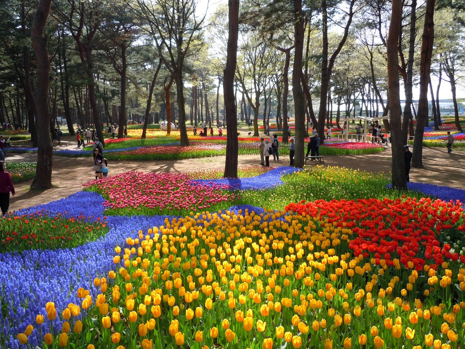 Tulips at the Hitachi Seaside Park in Japan
