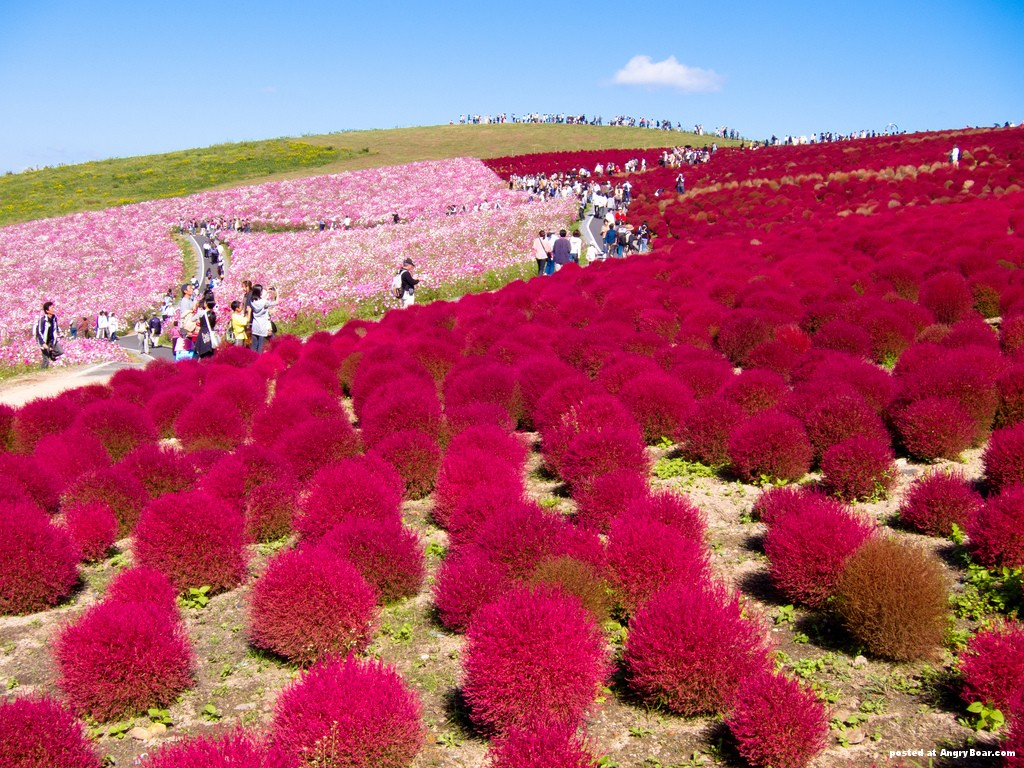 interesting featured : Hitachi Seaside flower park, Japan