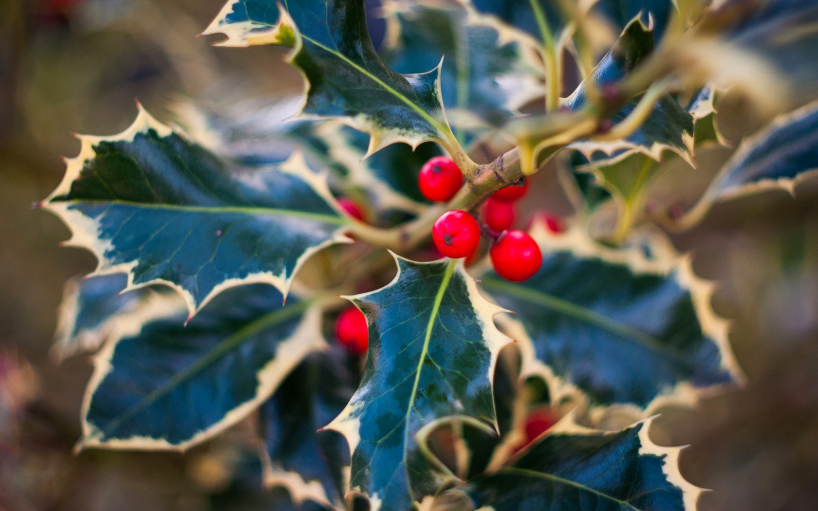 Holly Leaves Berries Red Nature