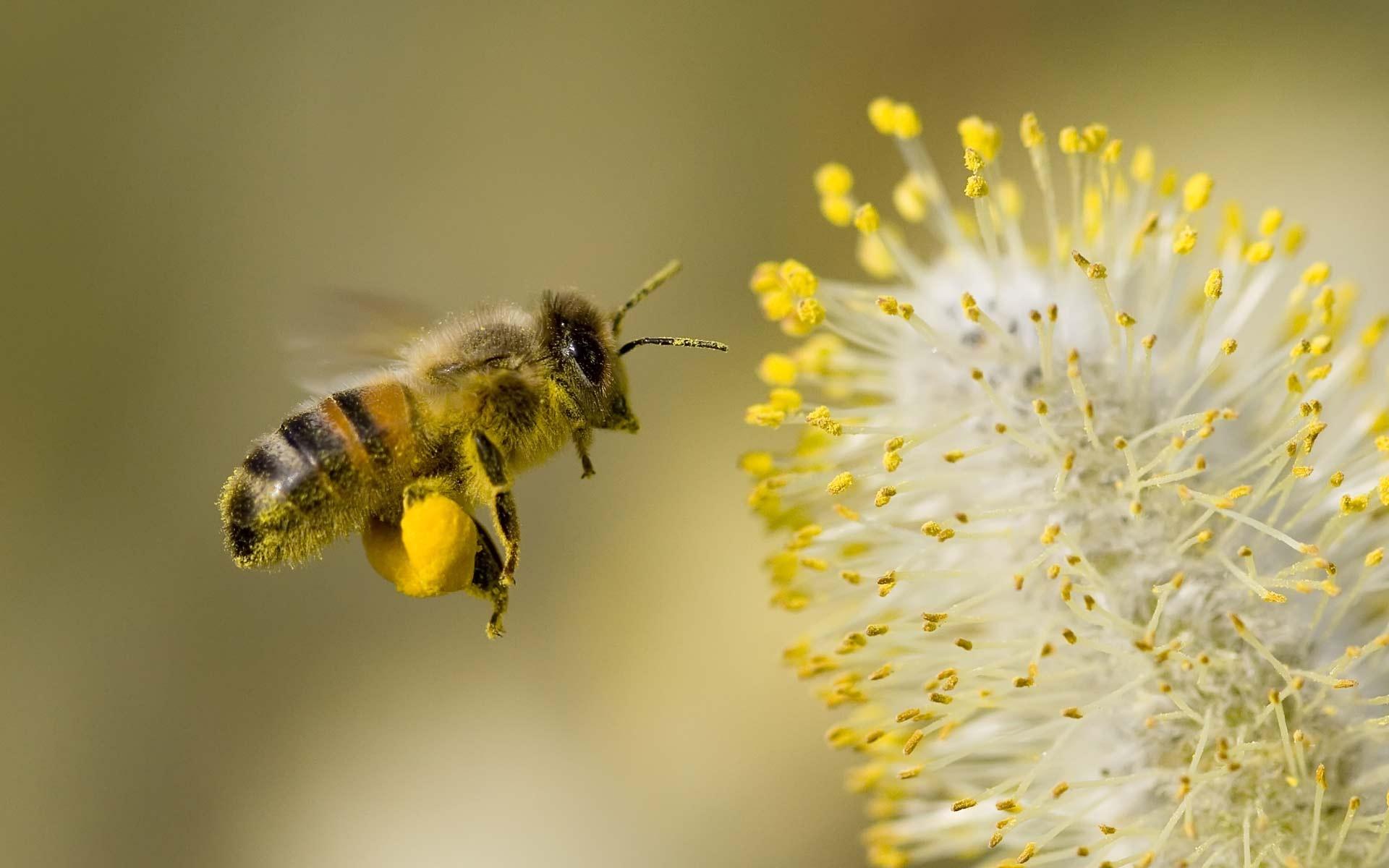 honey bee amazing hd wallpaper