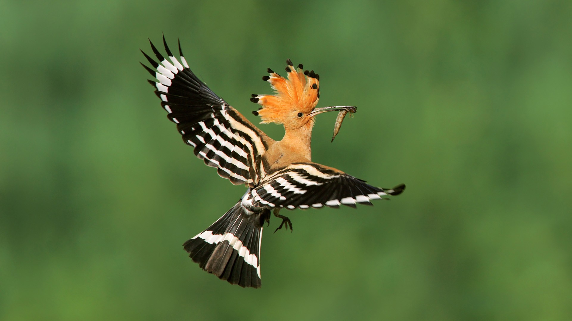 Hoopoe Wallpaper HD