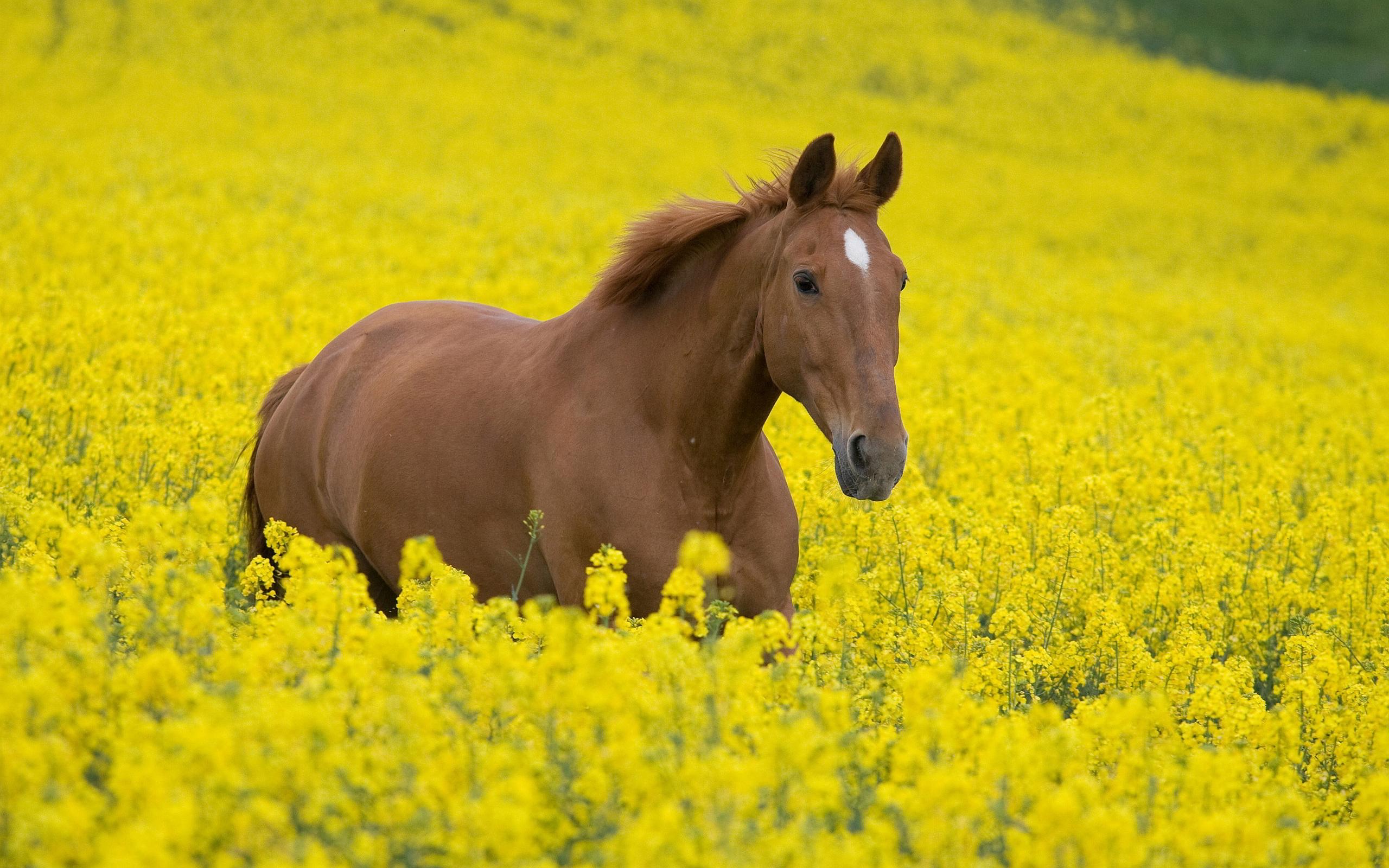 Horse canola field