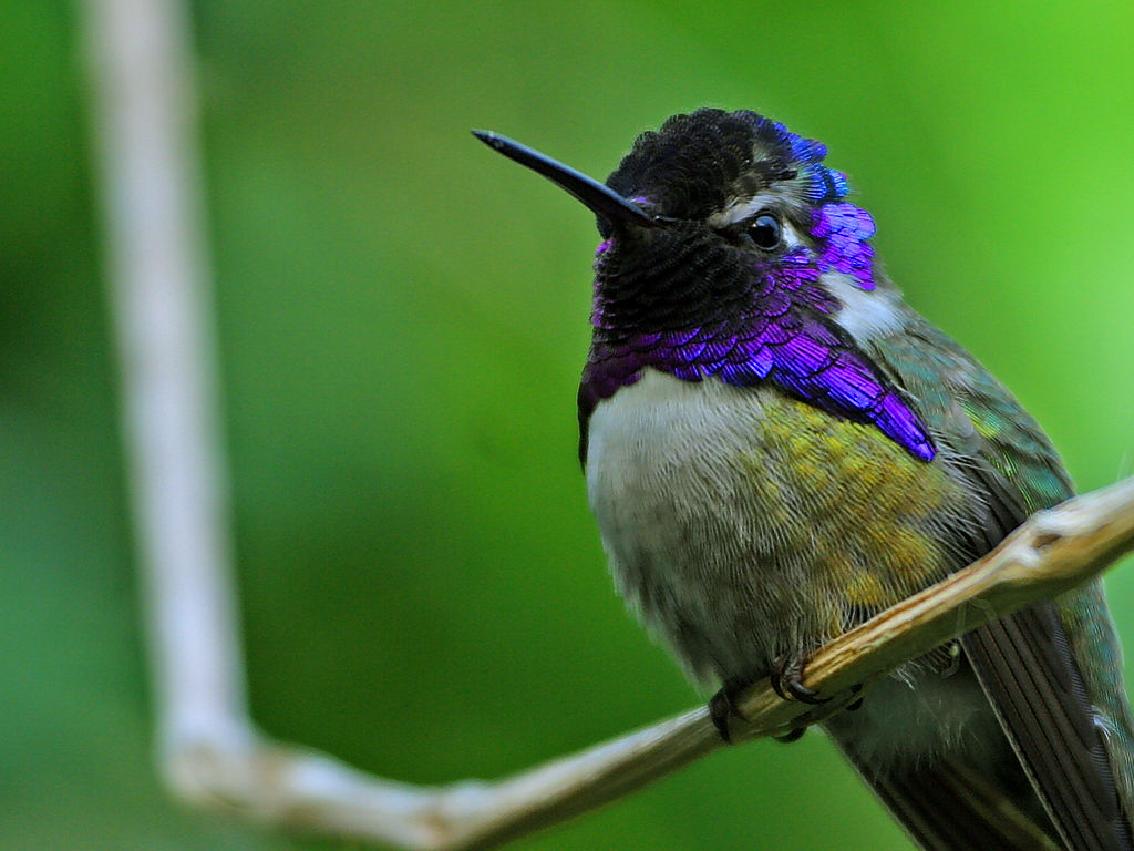 Costa's hummingbird Calypte costae