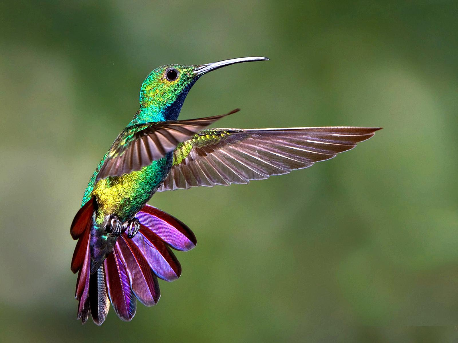 Hummingbird Freeze Frame Wallpaper #403292 - Resolution 1600x1200 px