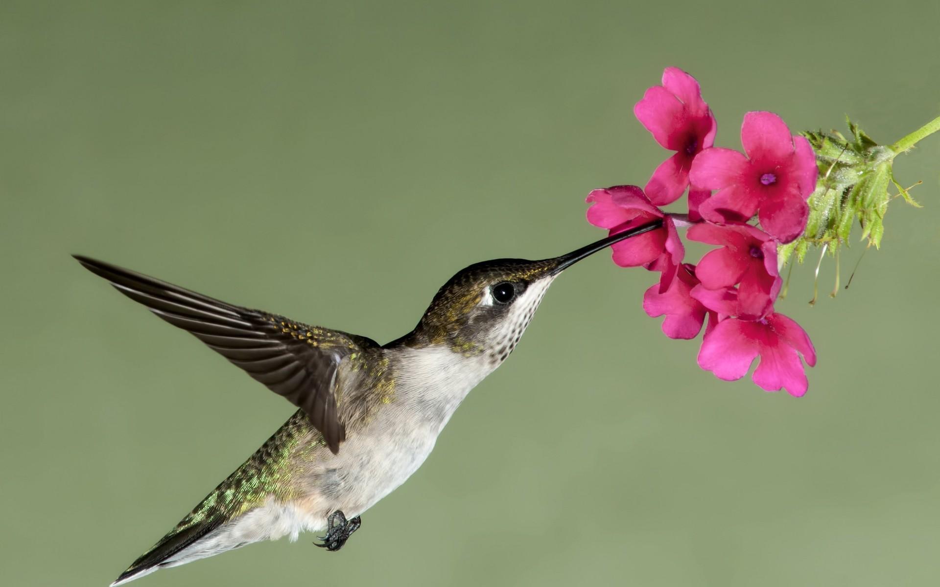 hummingbird flight flower flowers nectar wallpaper