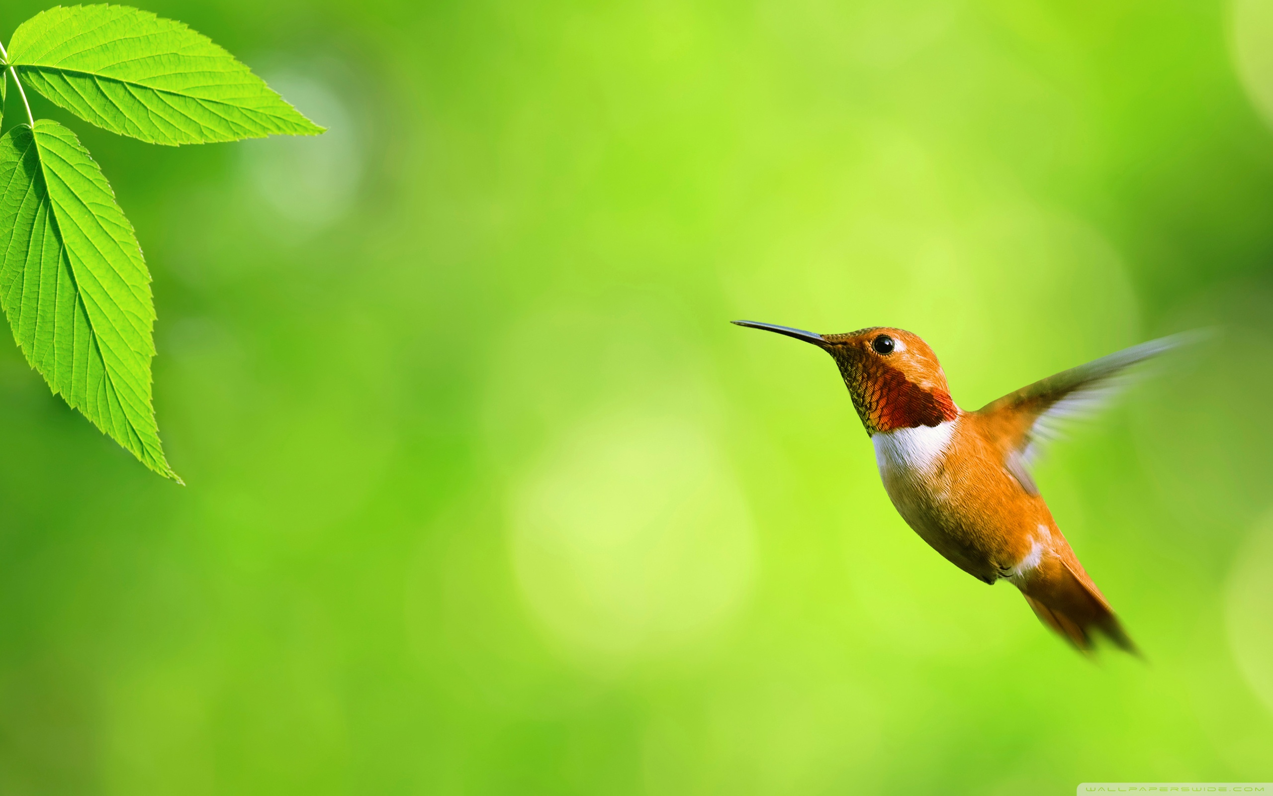 HD Wallpaper | Background ID:446360. 2560x1600 Animal Hummingbird