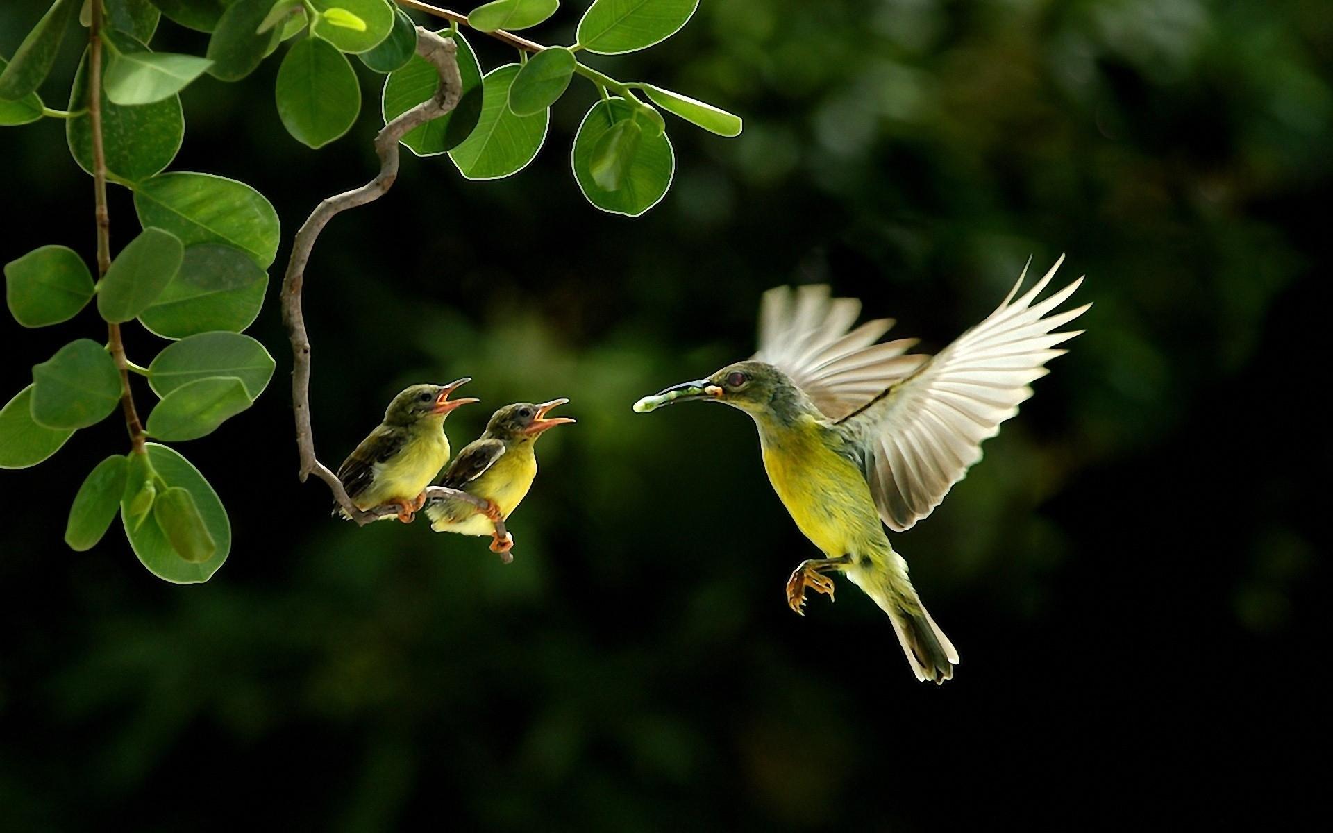 Hummingbird Wallpaper Hd Px