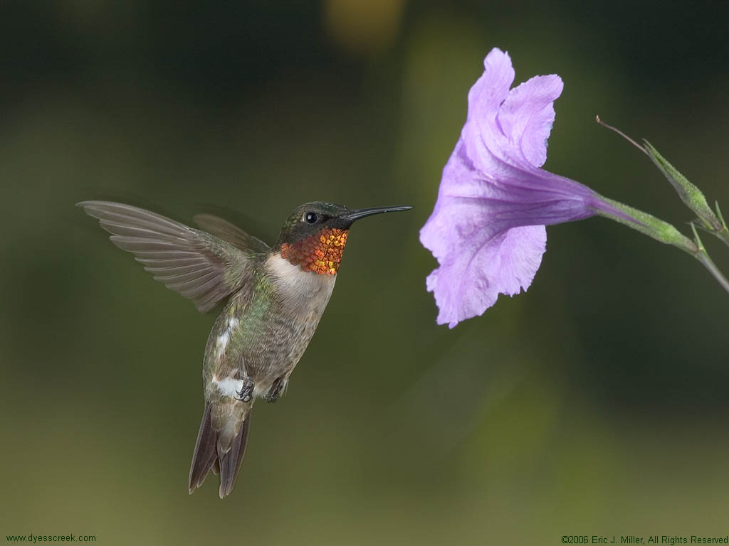 Free Hummingbird Desktop Background. Free Hummingbird Wallpaper