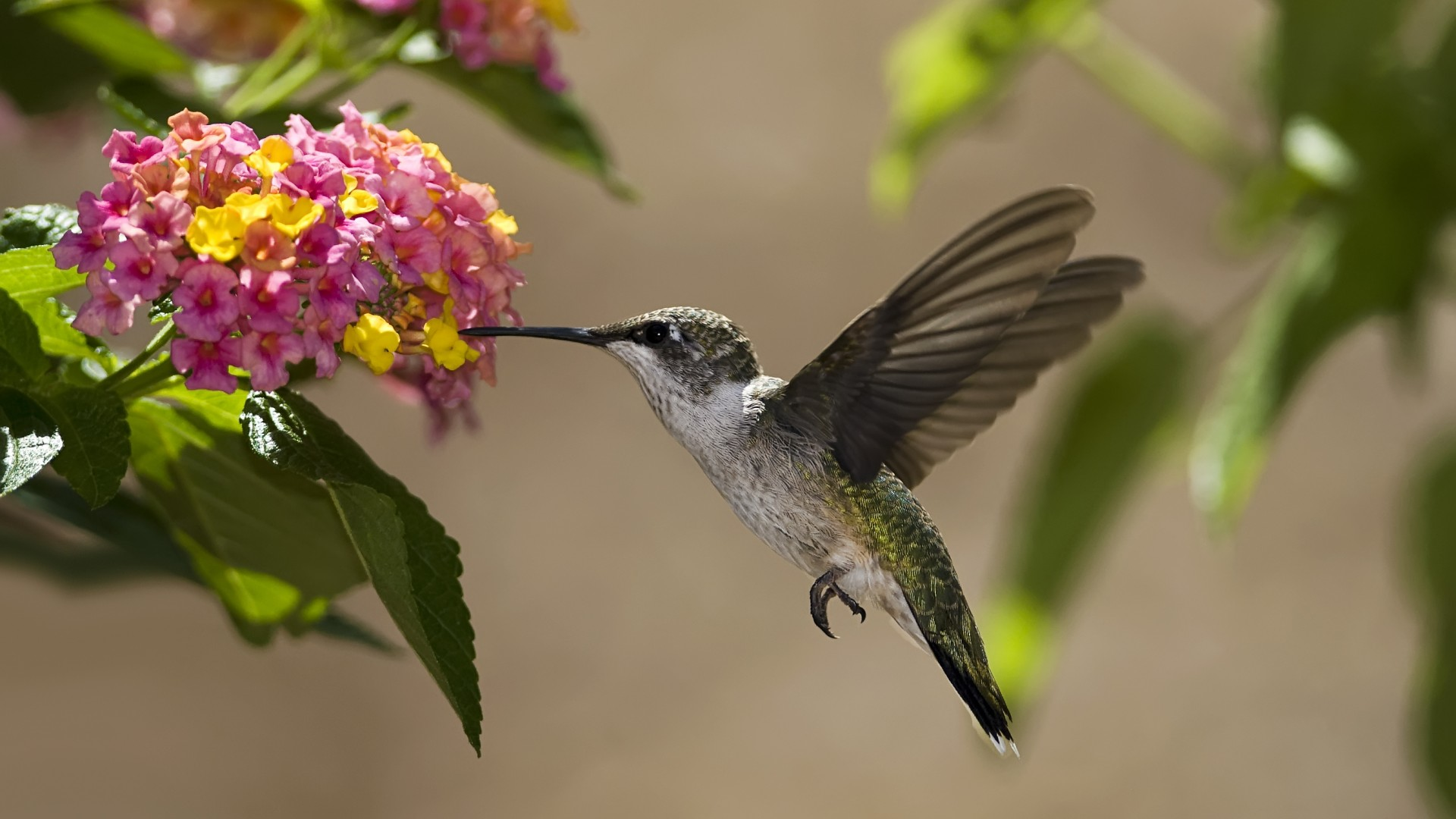 Hummingbird Wallpaper 347