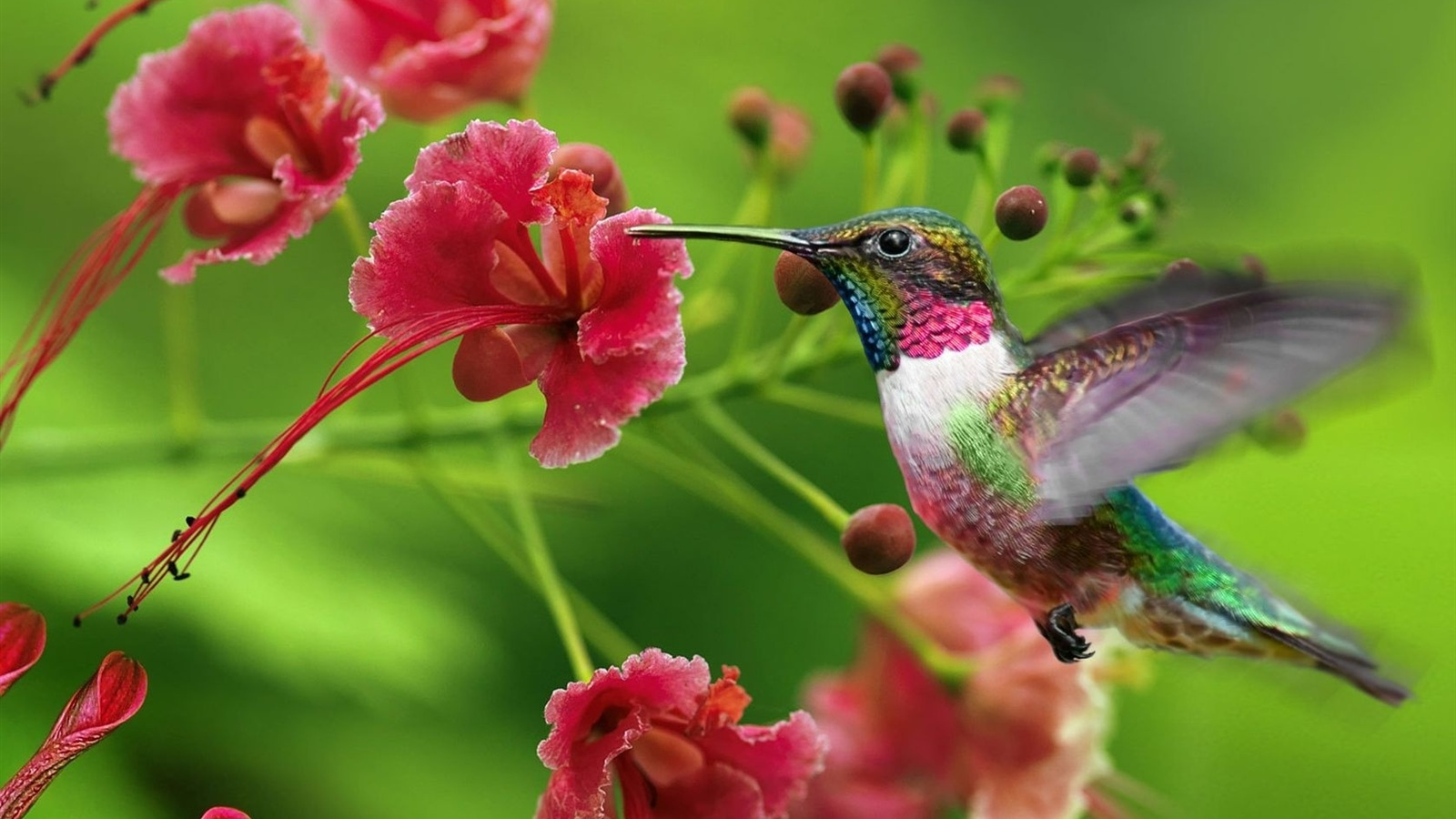 Sitting hummingbird wallpaper hummingbird ...