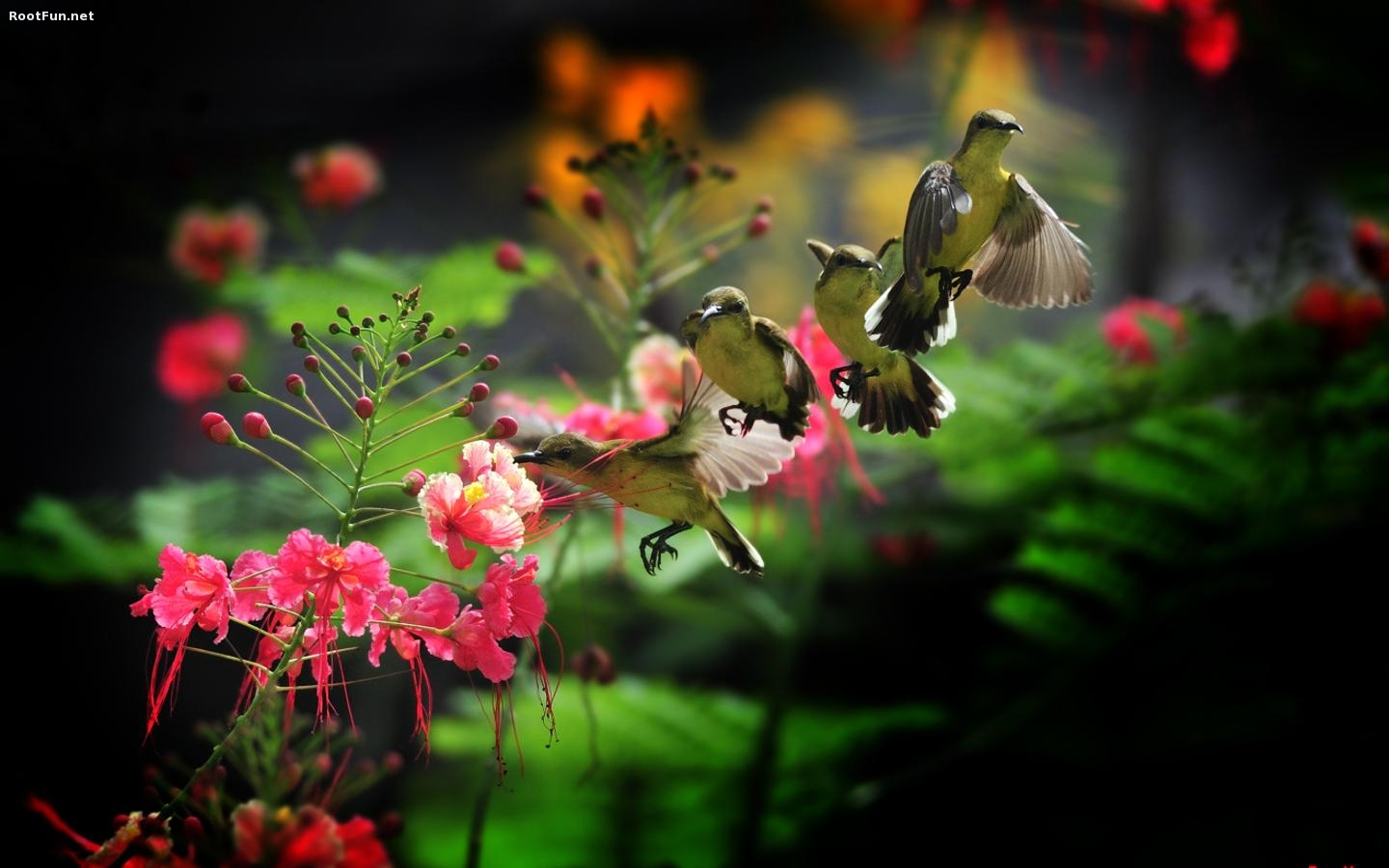 Free Hummingbird Full HD Wallpaper pc