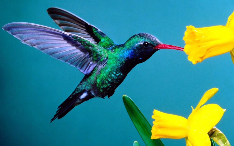 Hummingbird Wallpaper 461