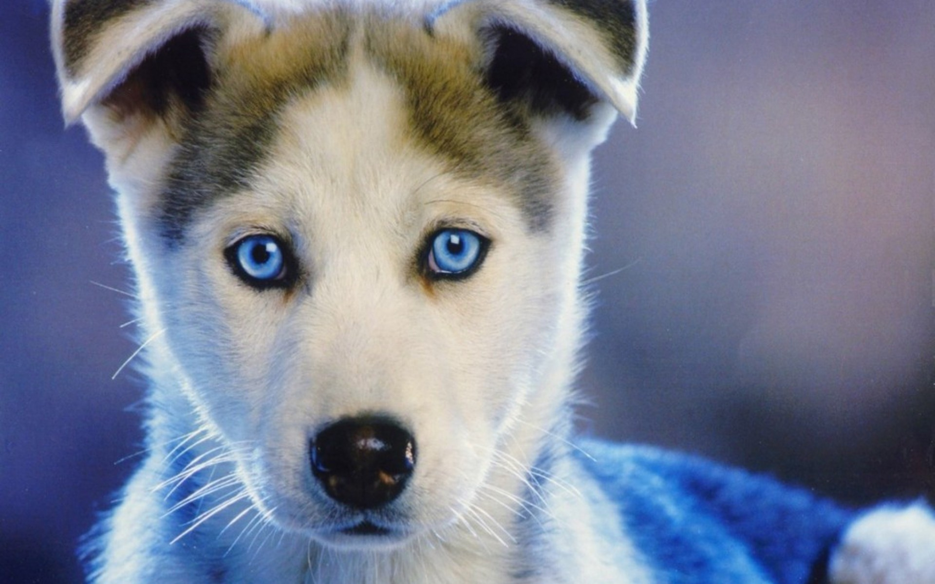 Husky blue eye