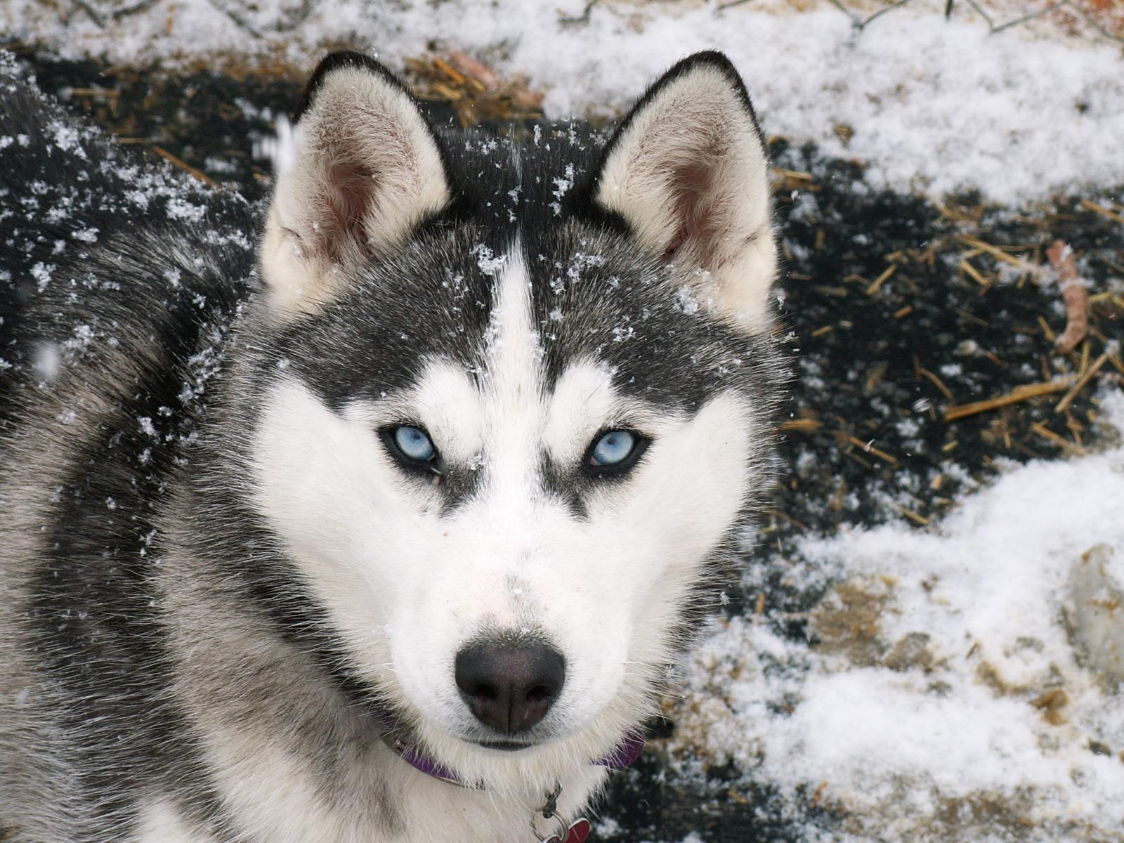 Husky Dog Photo