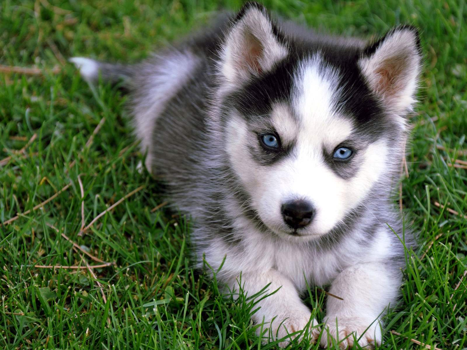 Here are Husky puppies. My brother loves Huskies and wants a puppy.