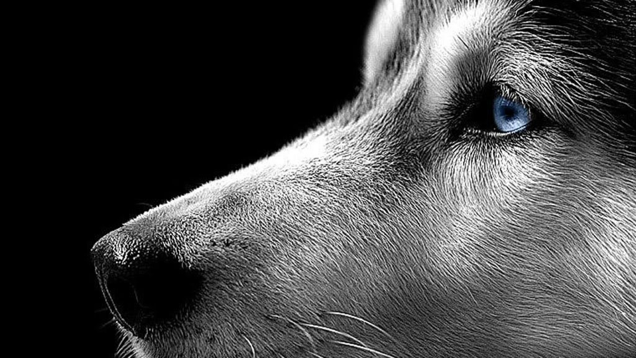 Siberian Husky Wallpaper Free Download