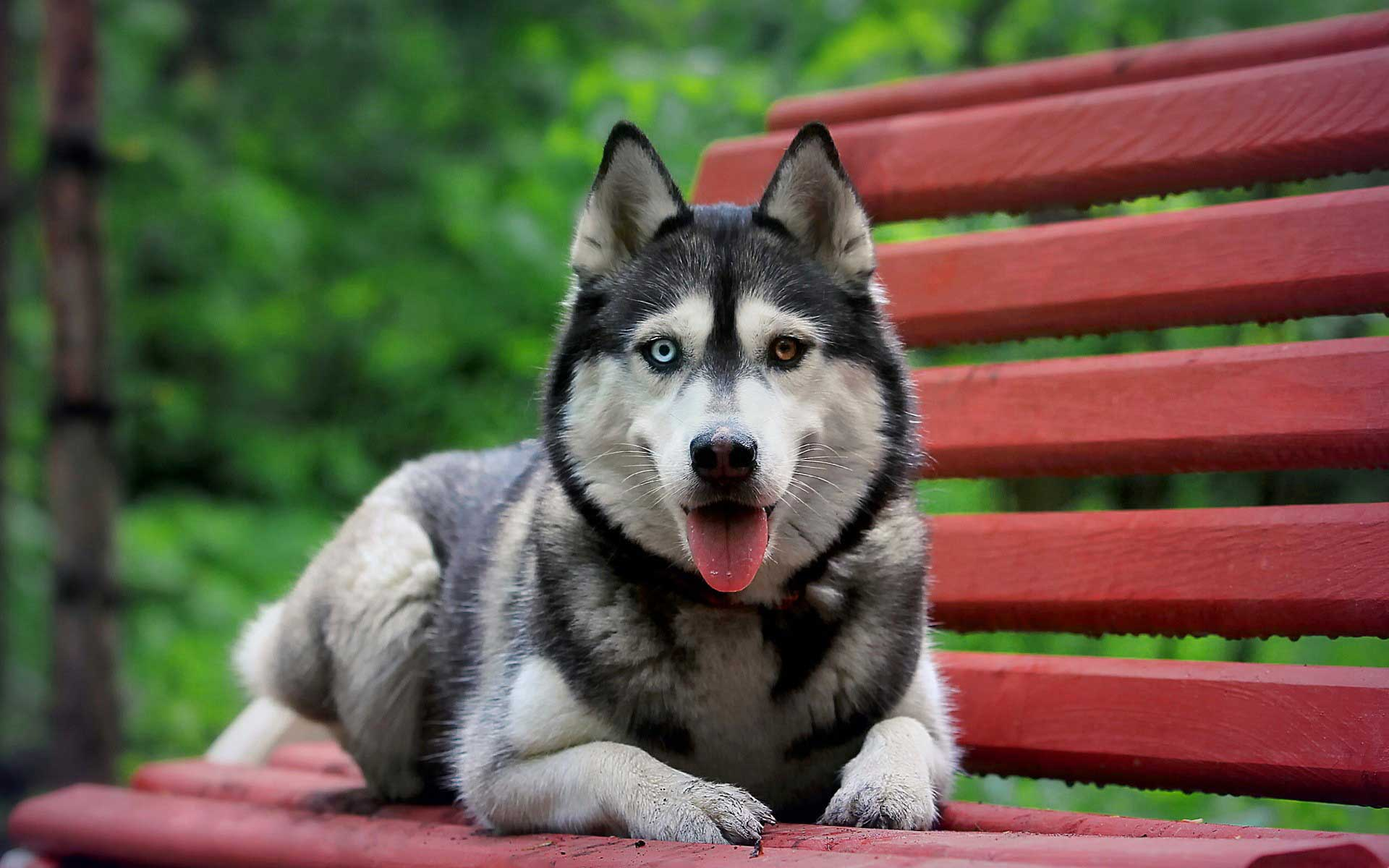 ... Husky Wallpaper · Siberian Husky Wallpaper
