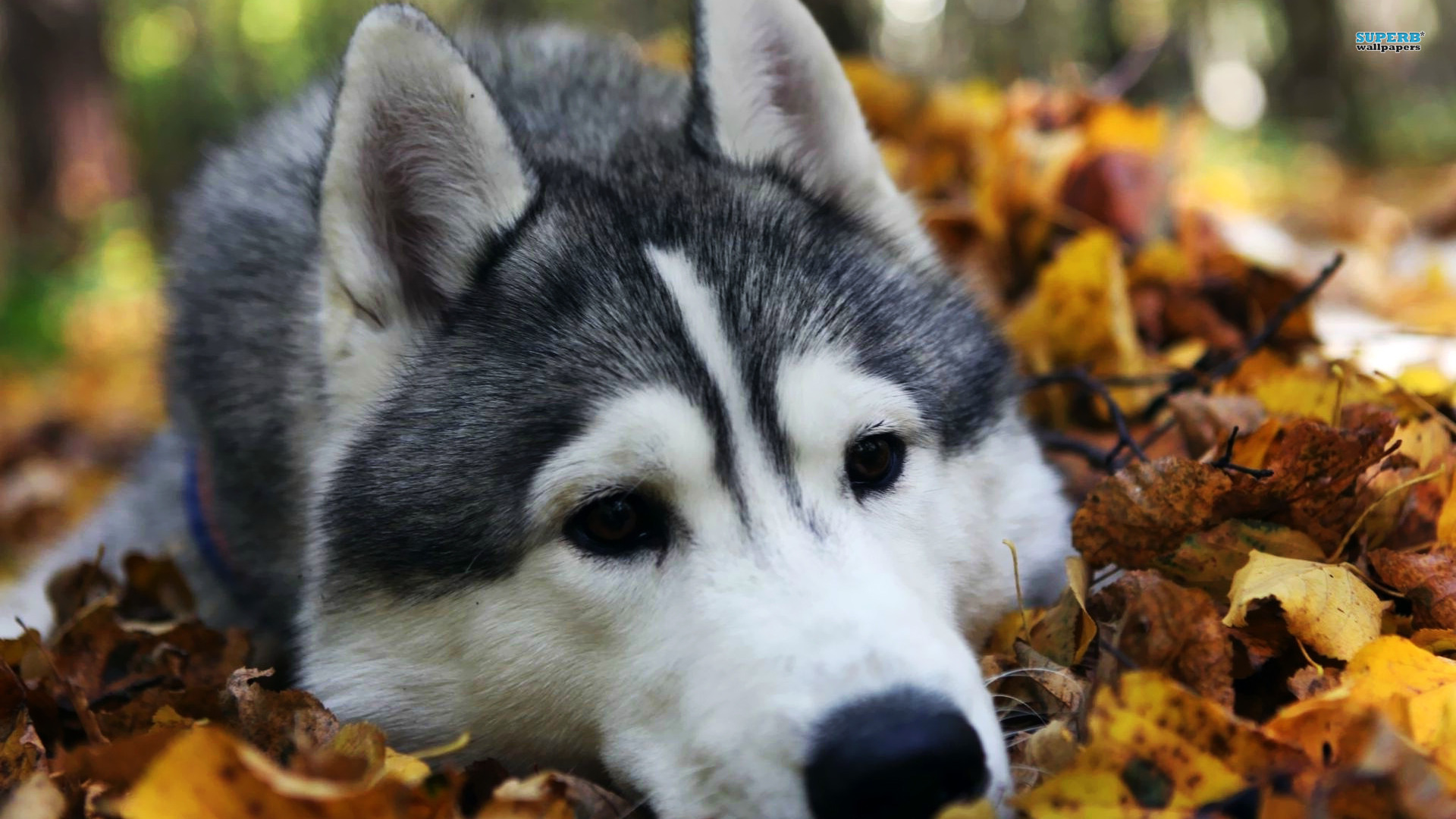 Husky Wallpaper 1920x1080 46268