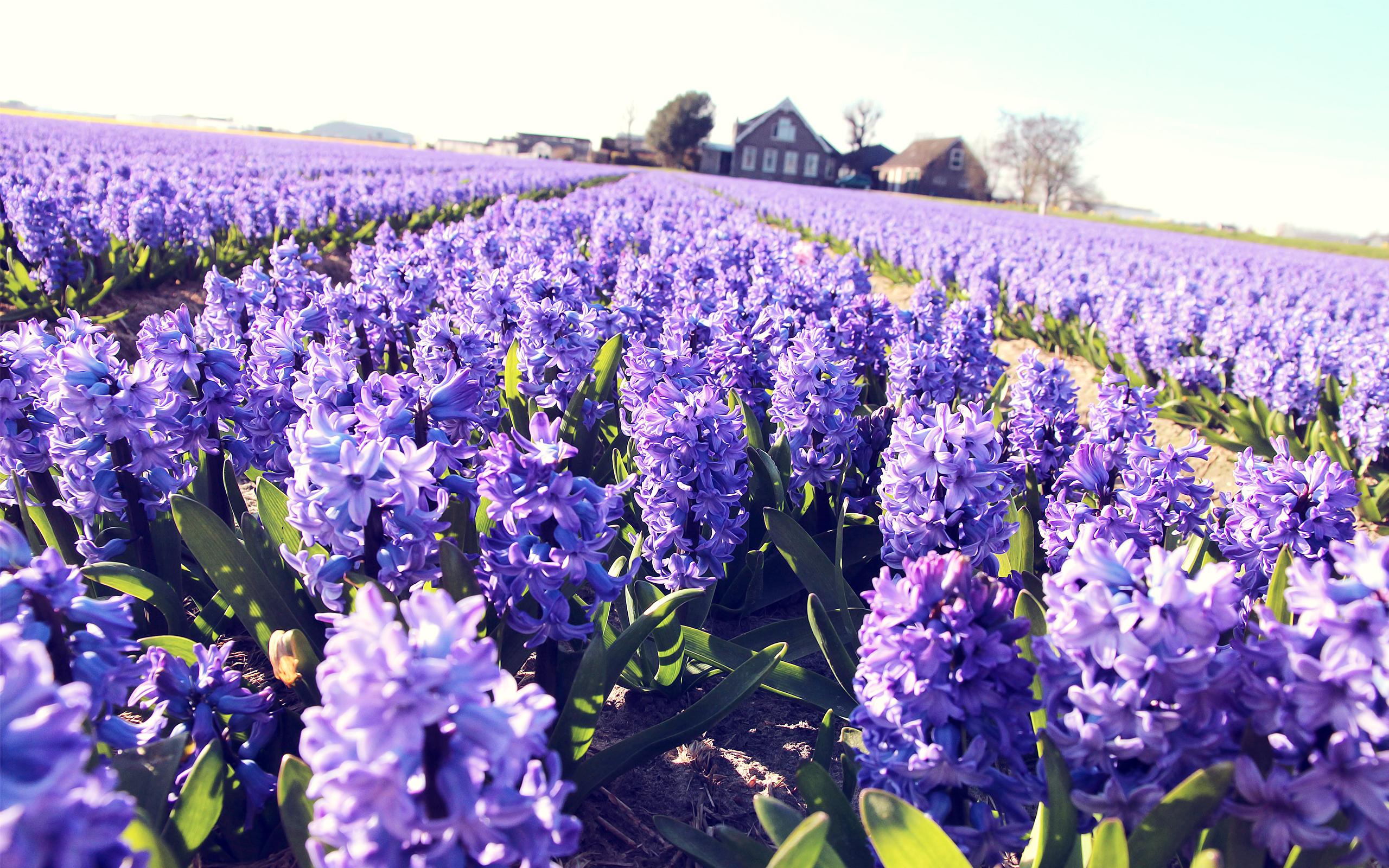 Hyacinth Landscape