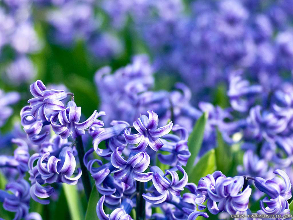 Wallpaper: Hyacinth wallpapers