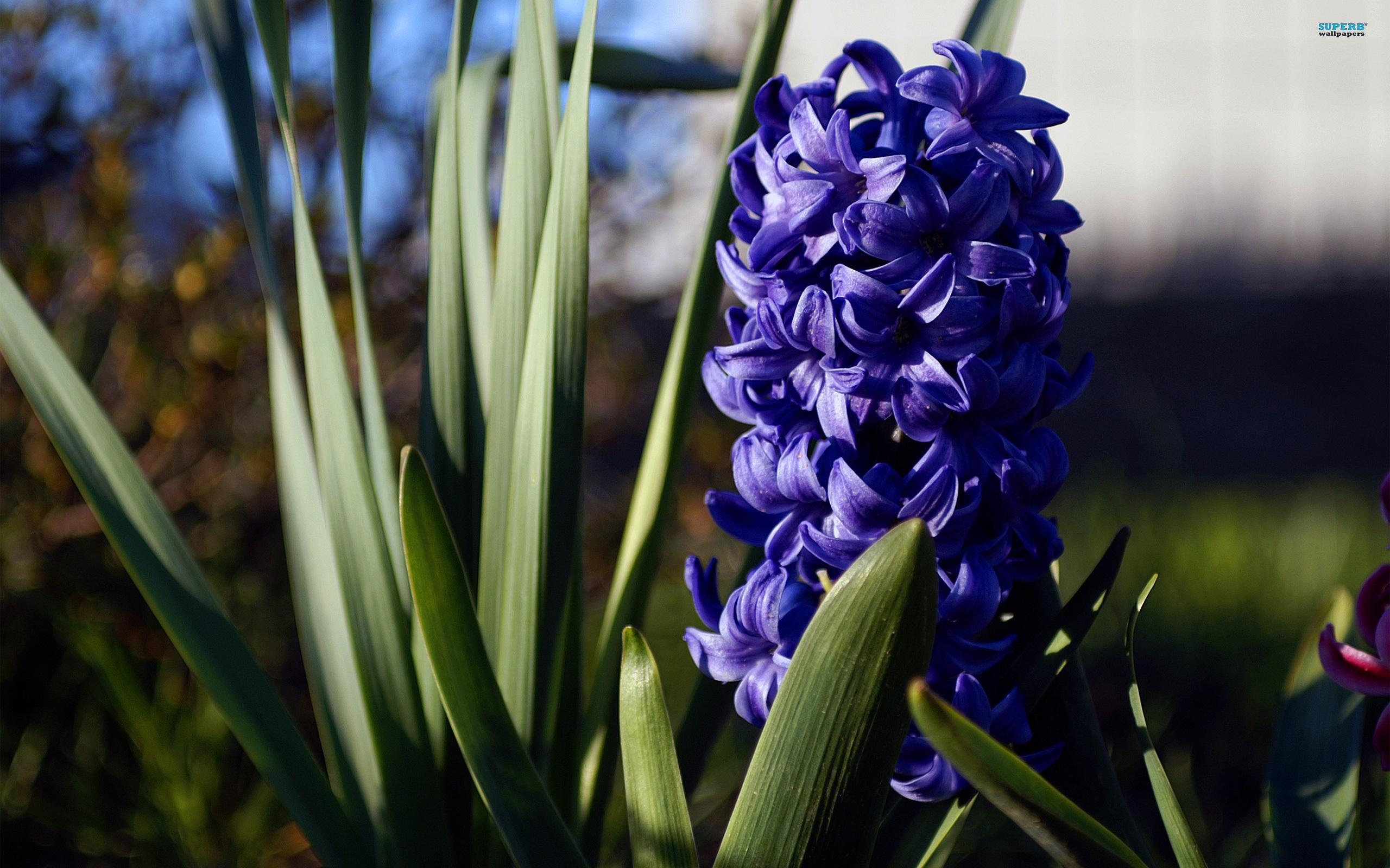 Hyacinth wallpaper 2560x1600