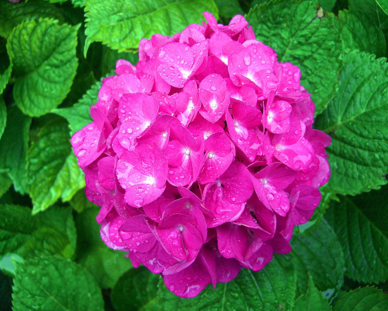 hydrangea flowers wallpaper  x, Natural flower