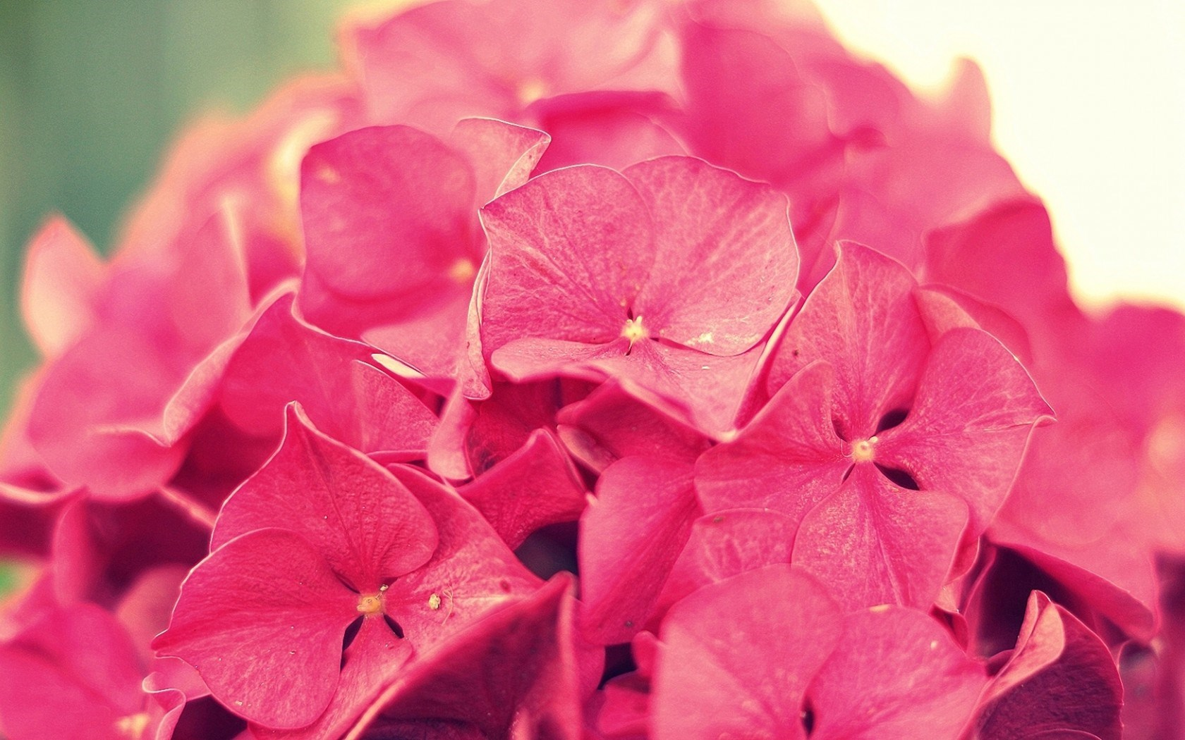 Hydrangea Pink Flowers Close-Up