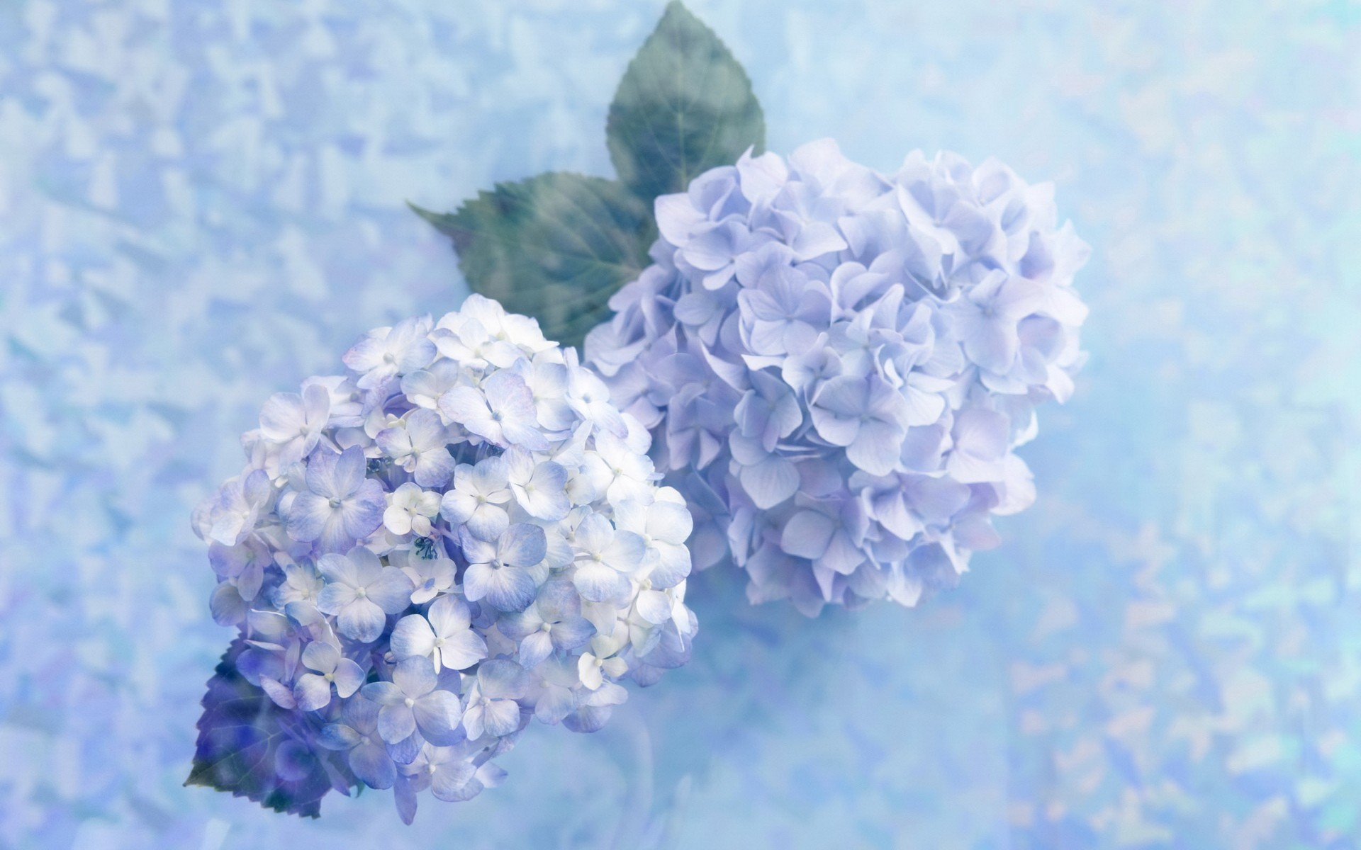 hydrangea wide hd wallpaper