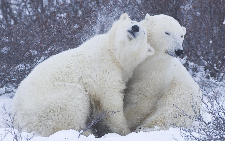 Ice bear cuddle