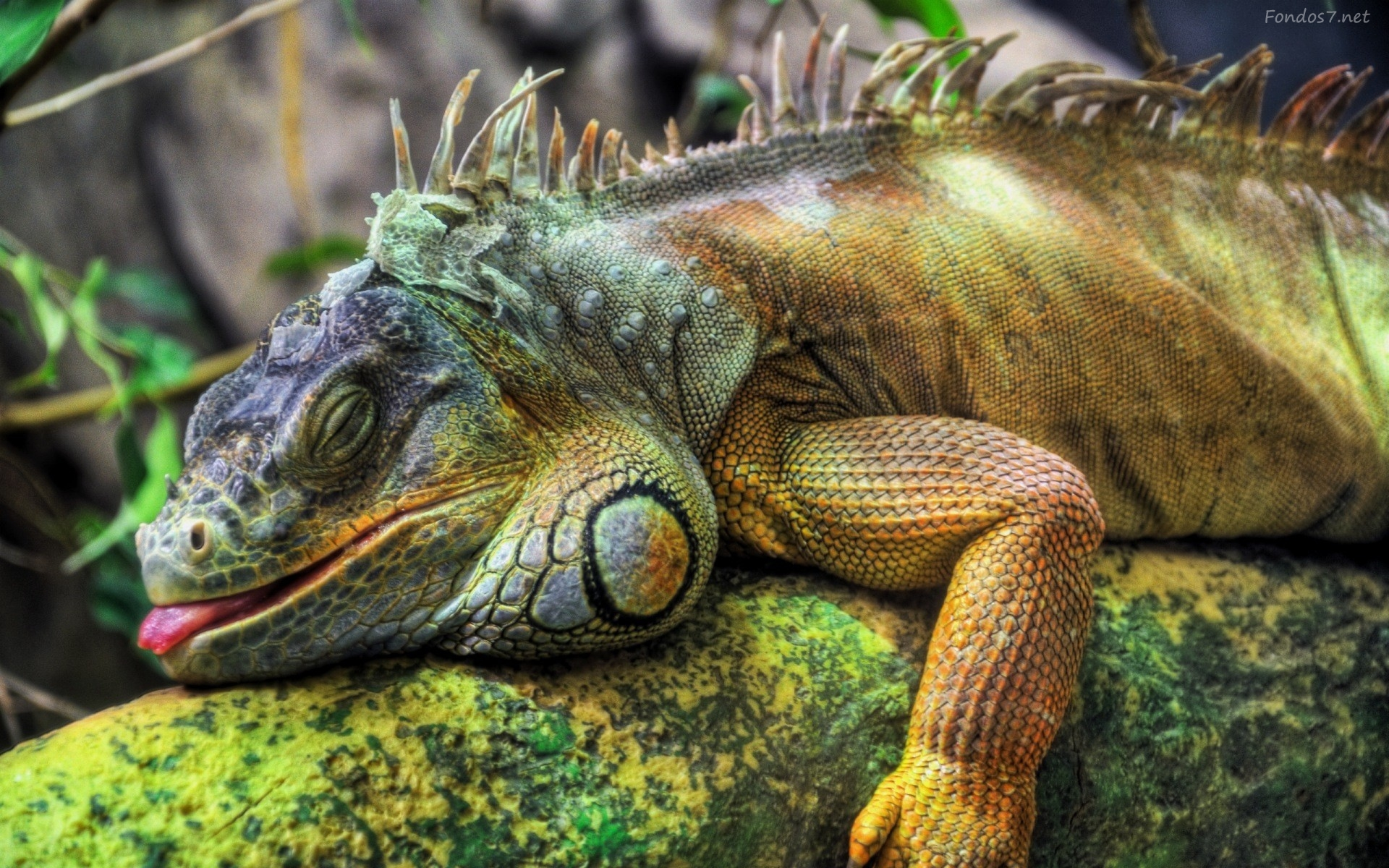 """Some species of iguana are able to inflate themselves during the flood to become floatable."""