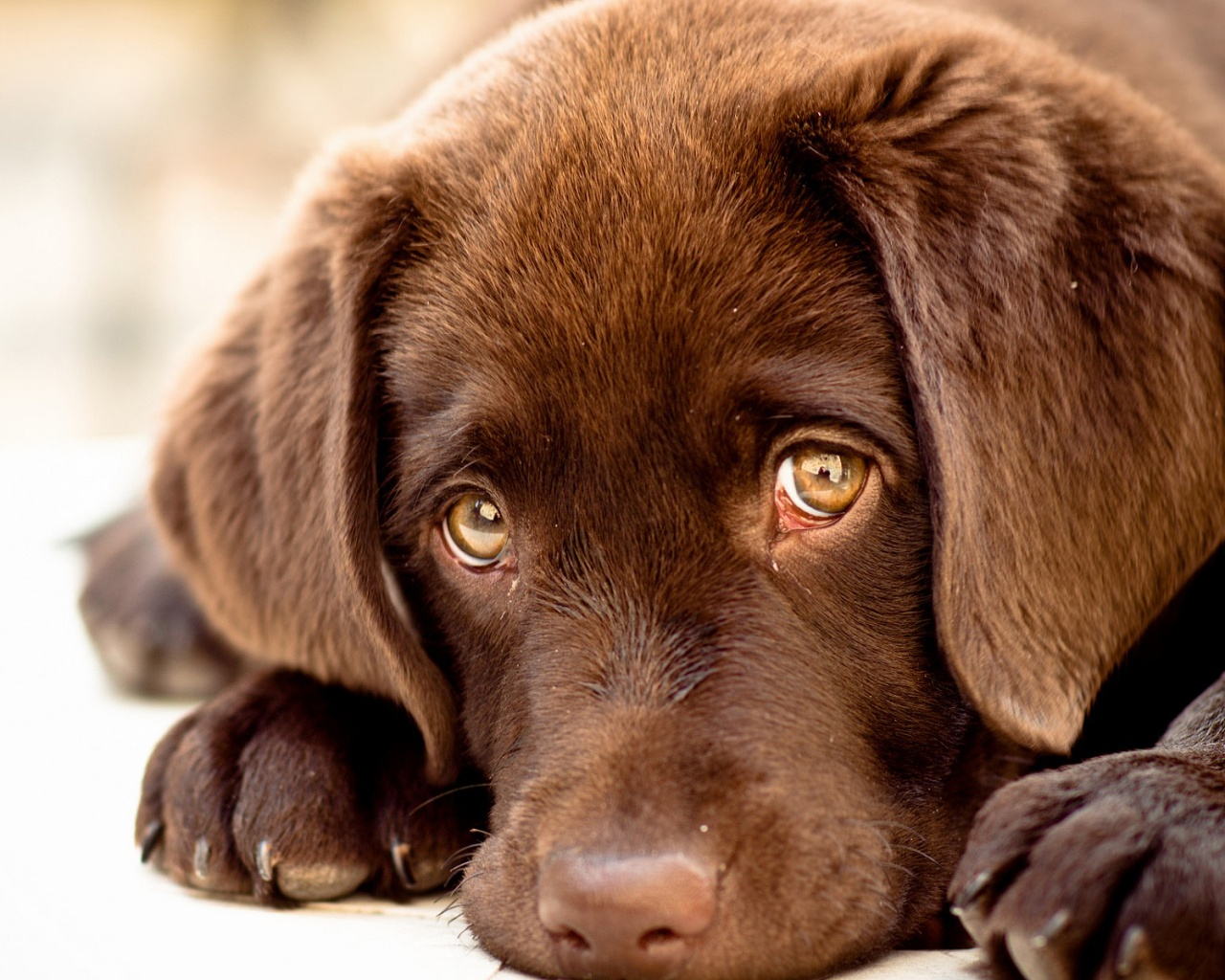 Description: The Wallpaper above is Innocent puppy eyes Wallpaper in Resolution 1280x1024. Choose your Resolution and Download Innocent puppy eyes Wallpaper