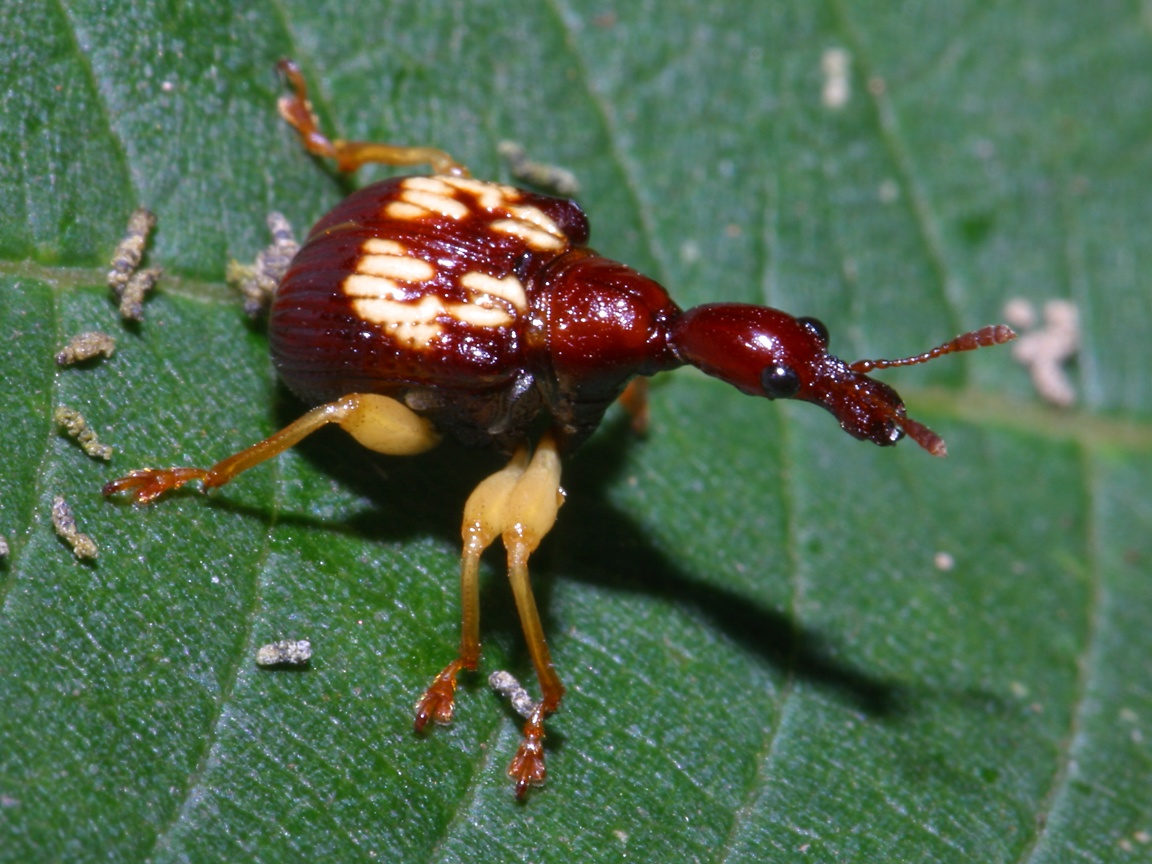 weevil · Megaproctus exclamationis