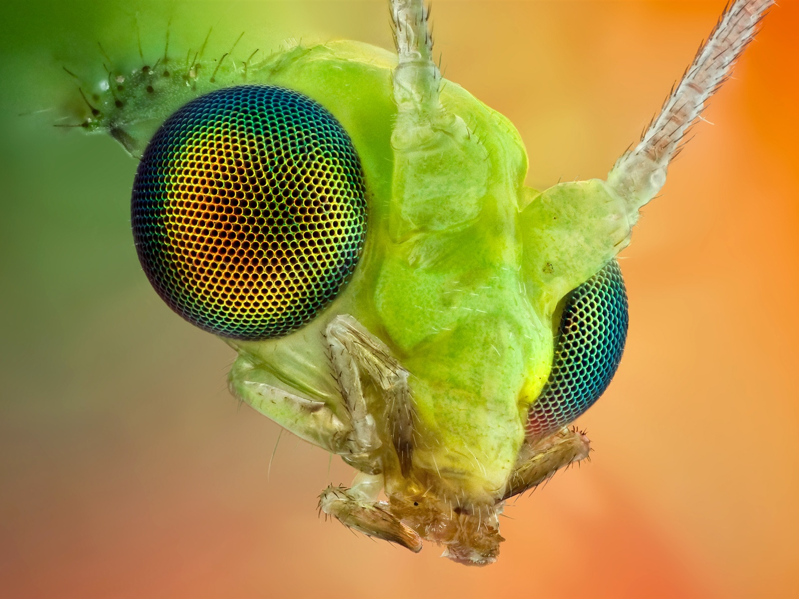 The insect compound eye macro wallpaper 1600x1200.