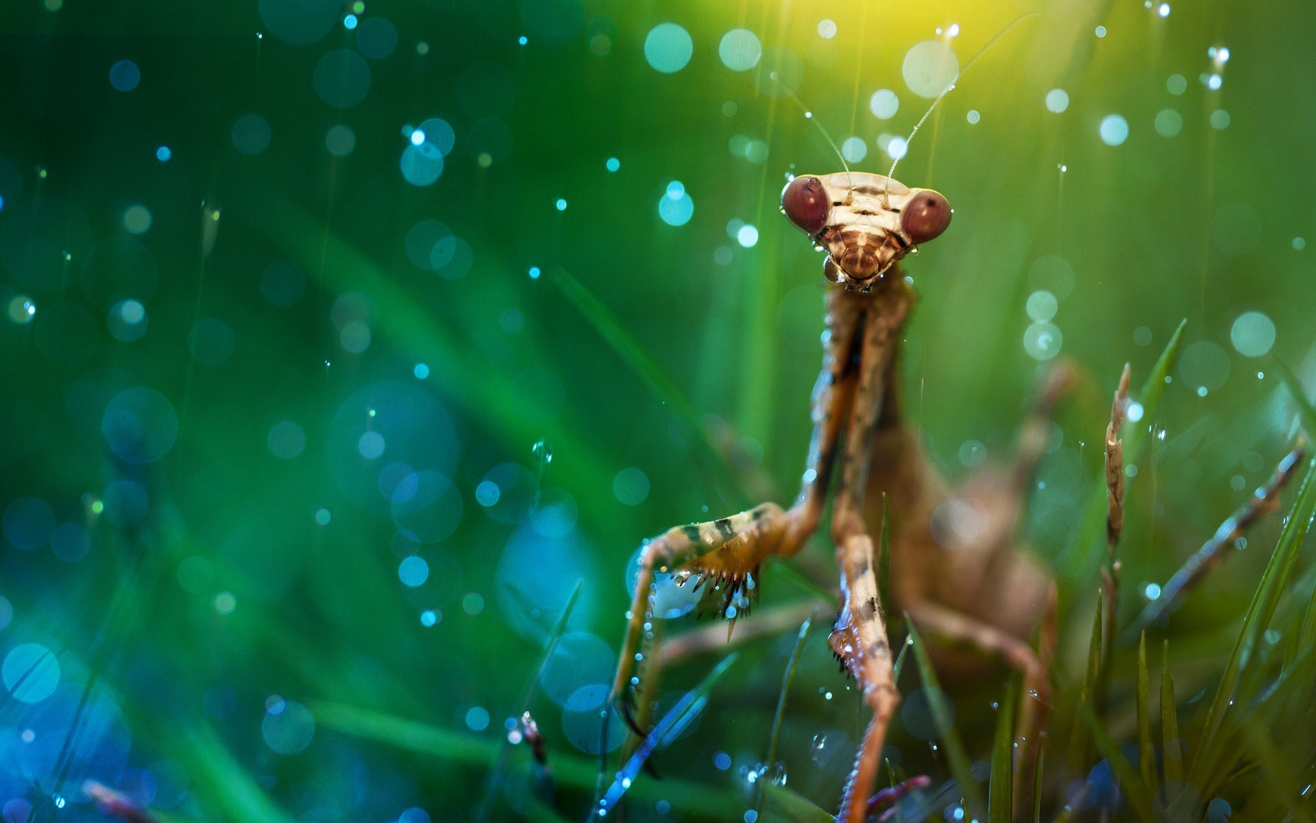 Insect Mantis Grass Drops Nature