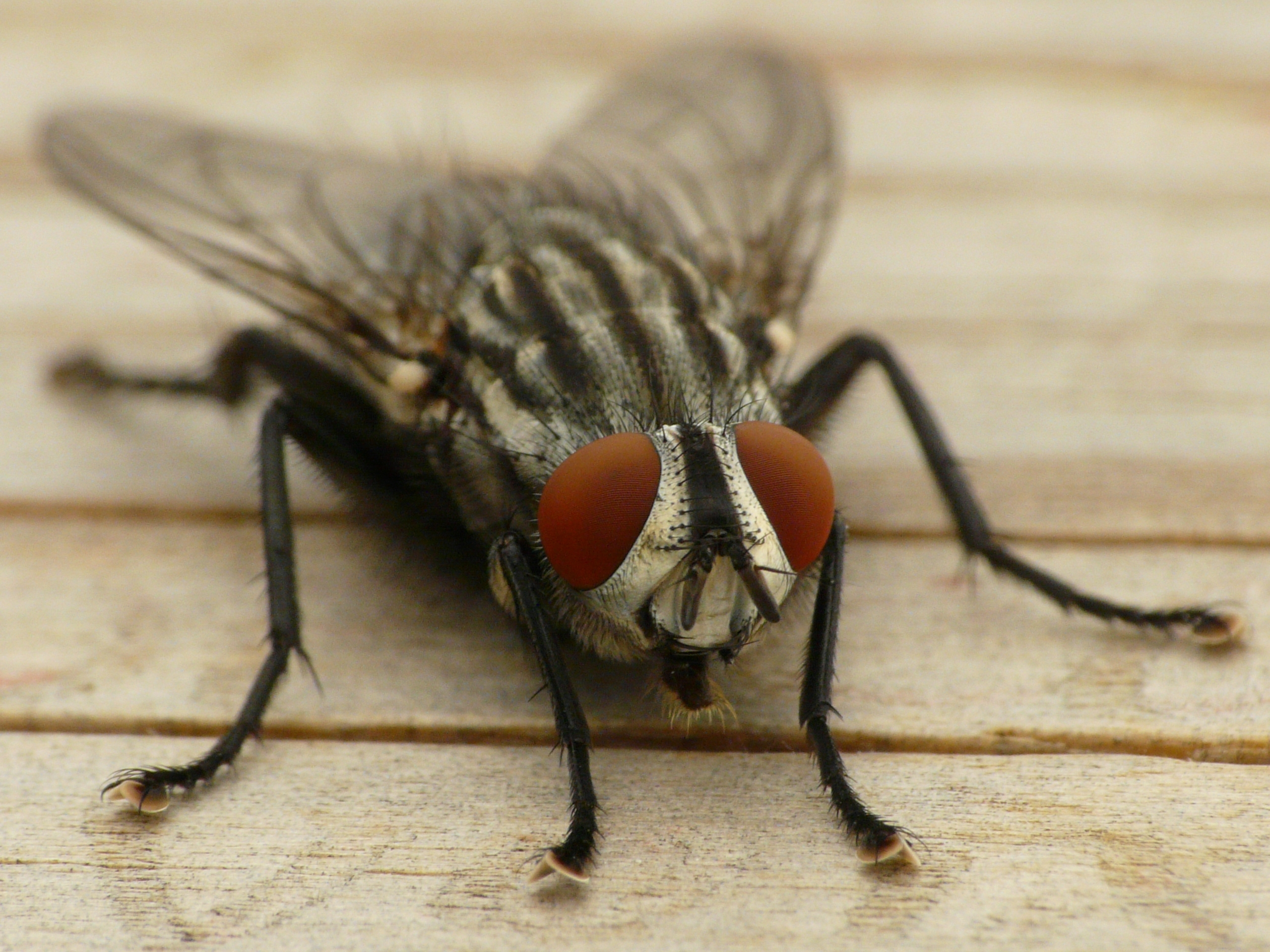 2560x1920 Wallpaper fly, eye, insect, wings, close-up