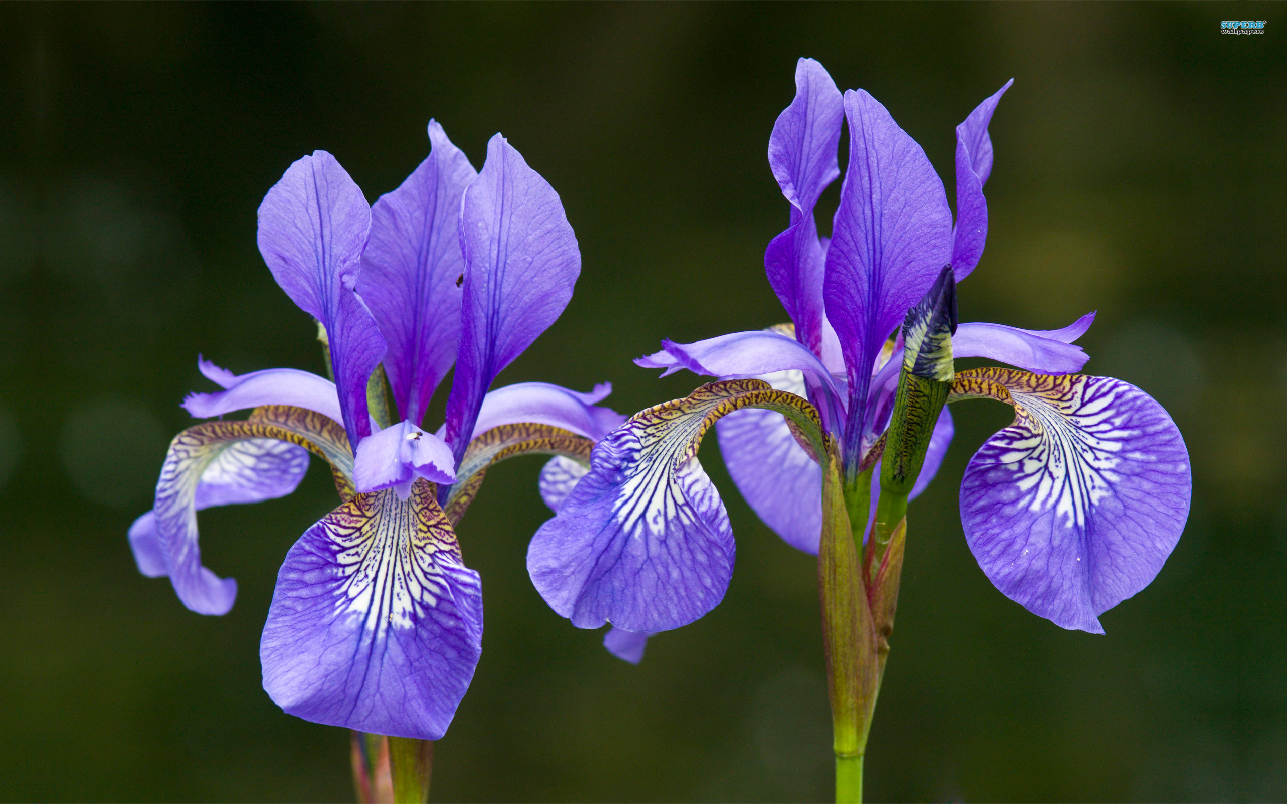iris flower wallpaper  x, Beautiful flower