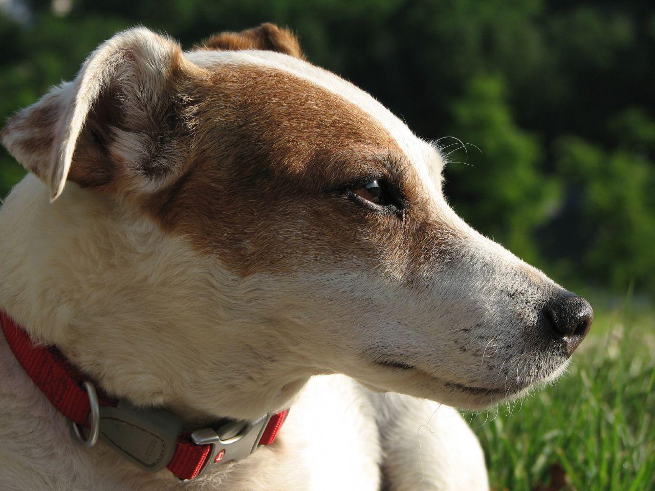 File:Jack Russell Terrier portrait.jpg