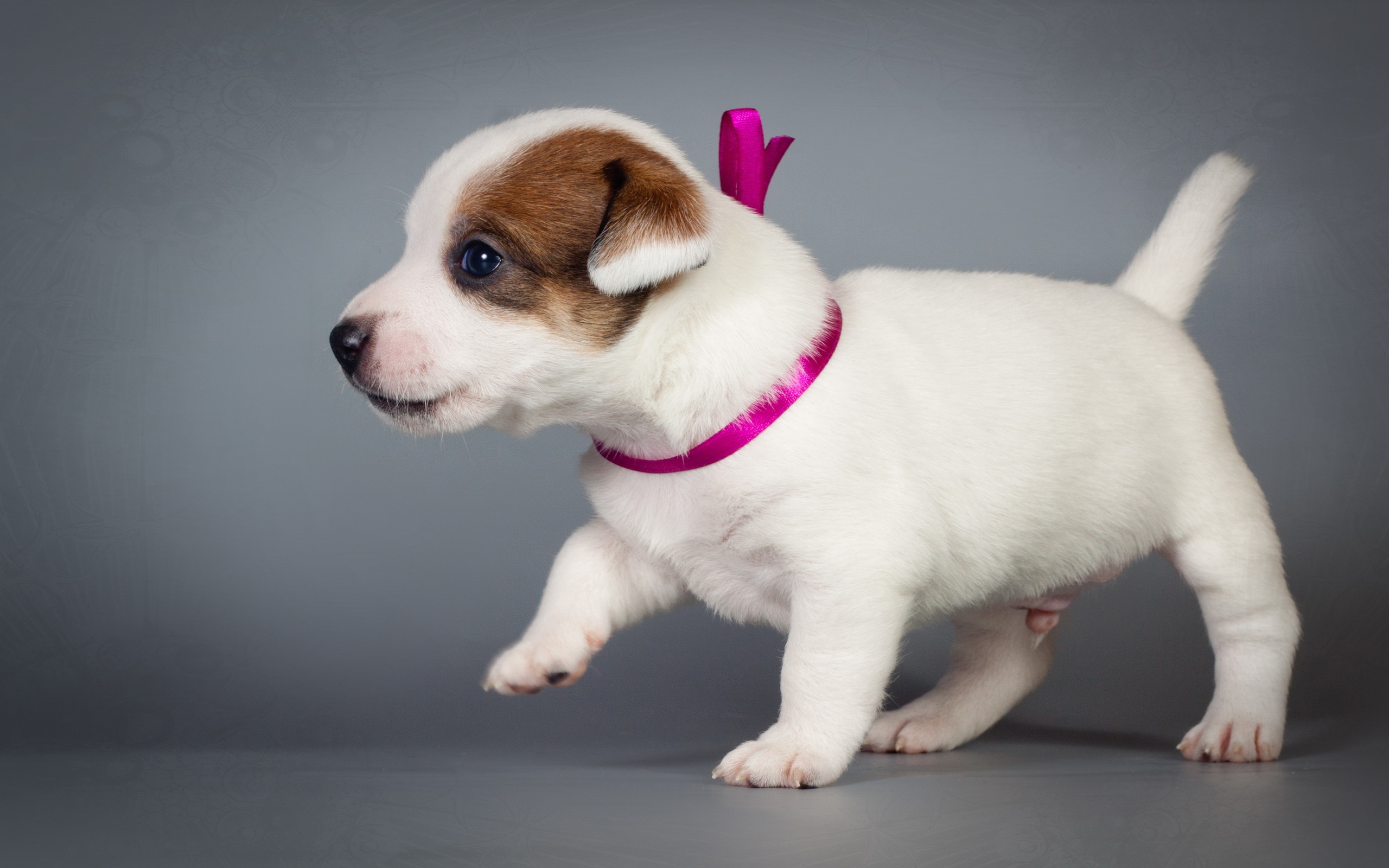 Dogs Jack Russell terrier Puppy Animals
