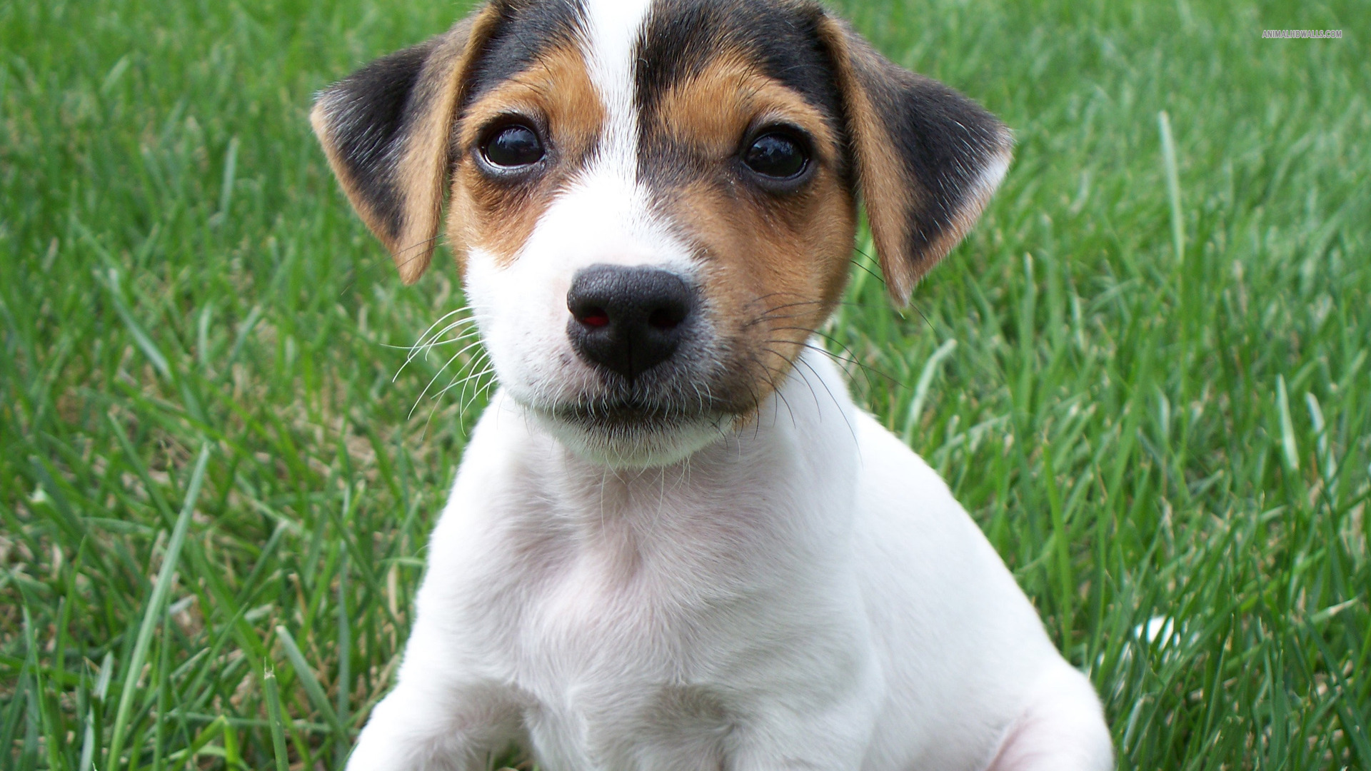 Jack Russell Terrier 14 Wallpaper HD