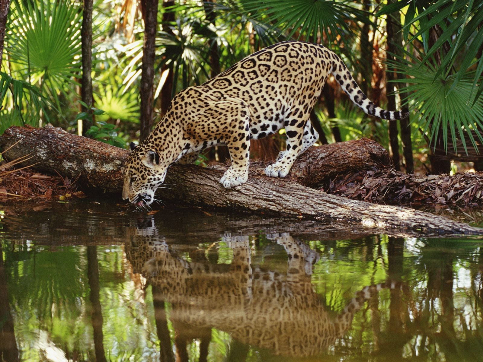 A full grown Jaguar can range from four to seven feet long and about 3 feet tall. These measurements are not including their tail which can range anywhere ...